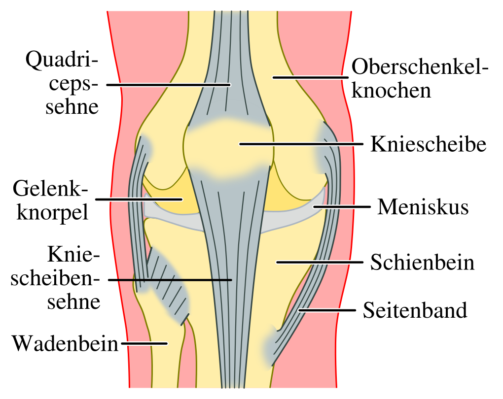Das Knie | Anatomie und Funktion des Kniegelenks