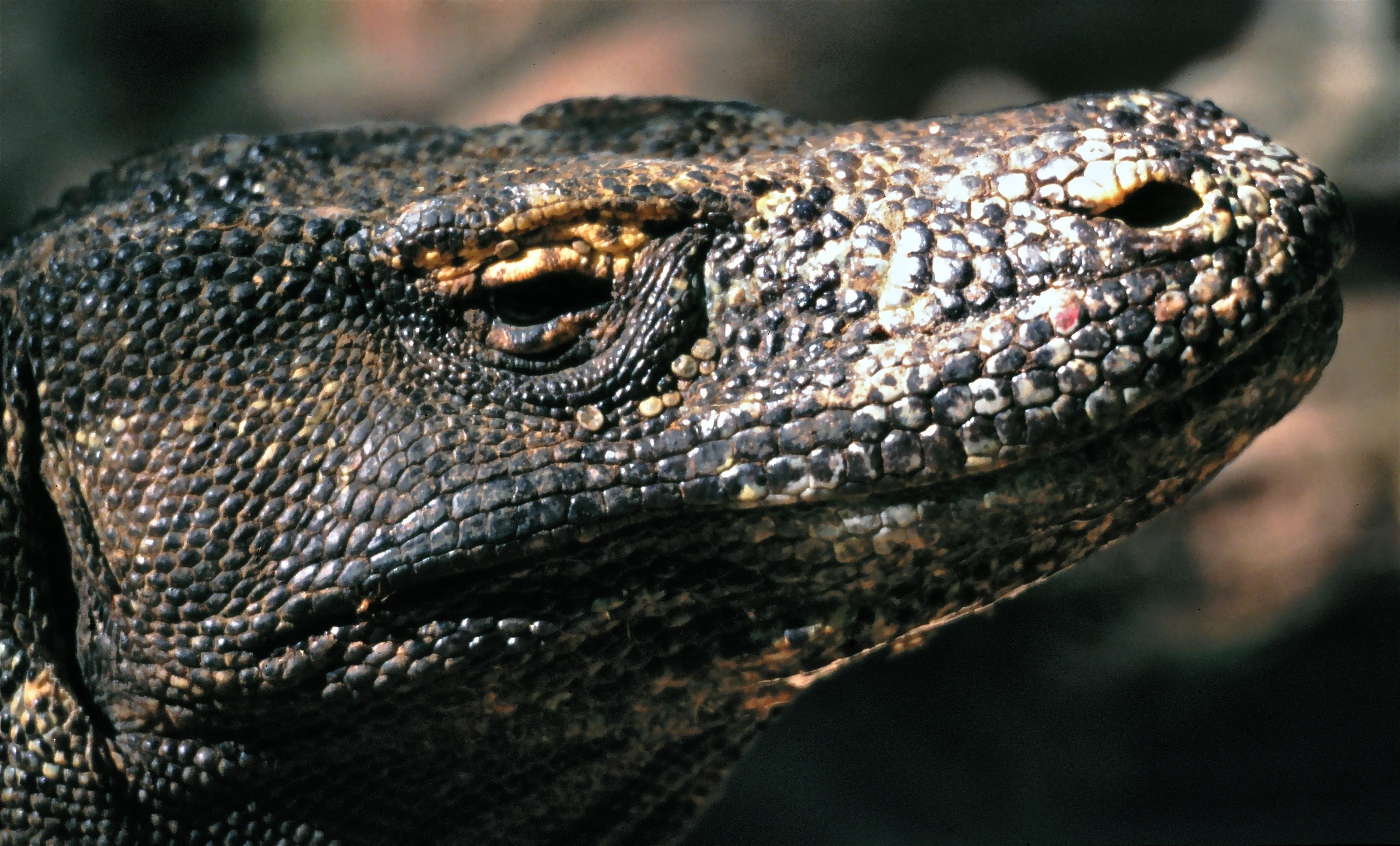 Komodo Dragon Wikipedia: File:Komodo Dragon Varanus Komodoensis Close-up With Ticks