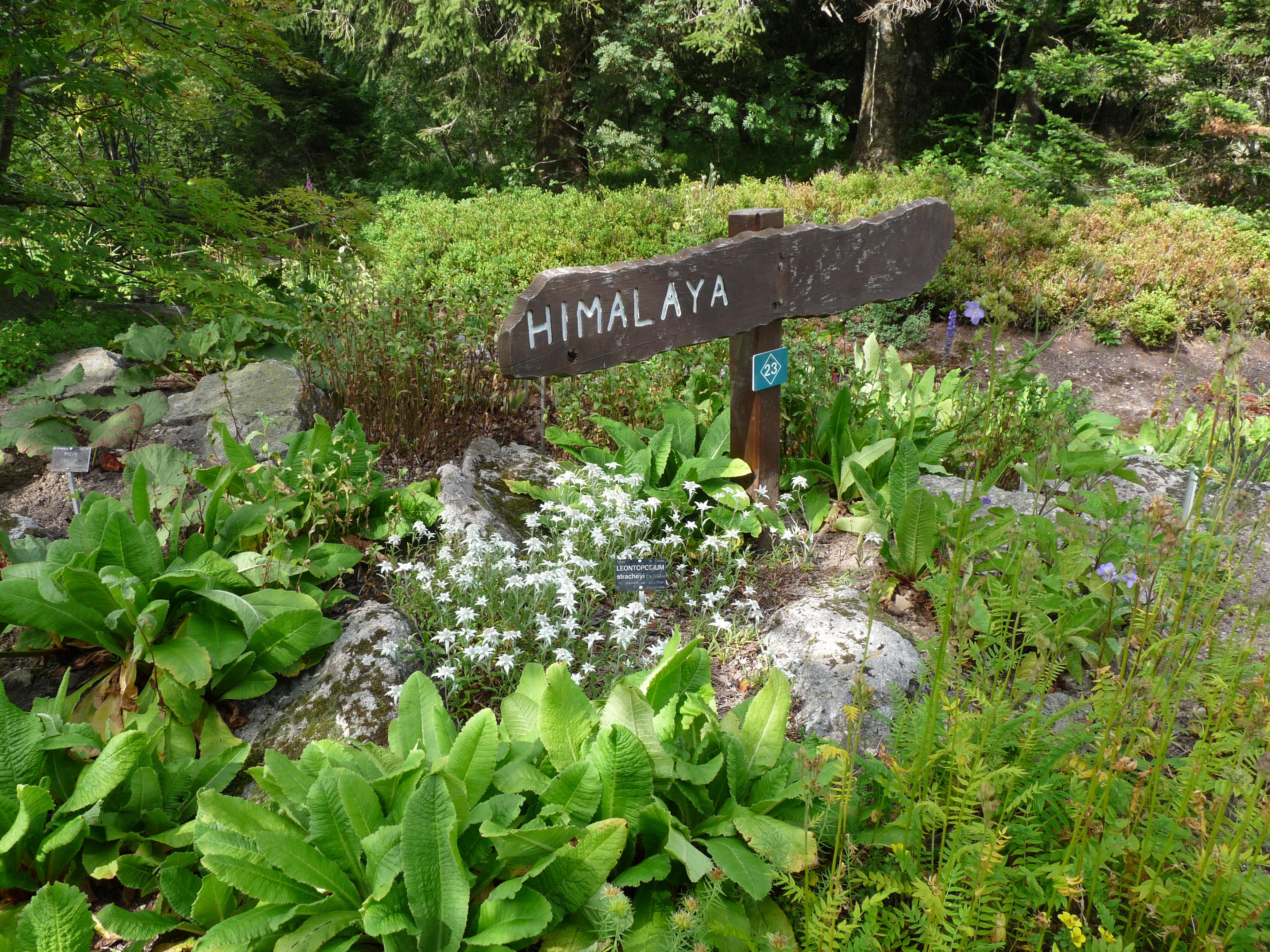 File leontopodium stracheyi jardin d 39 altitude du haut - Jardin d altitude du haut chitelet ...