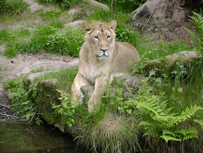 Weibchen des Asiatischen Löwen