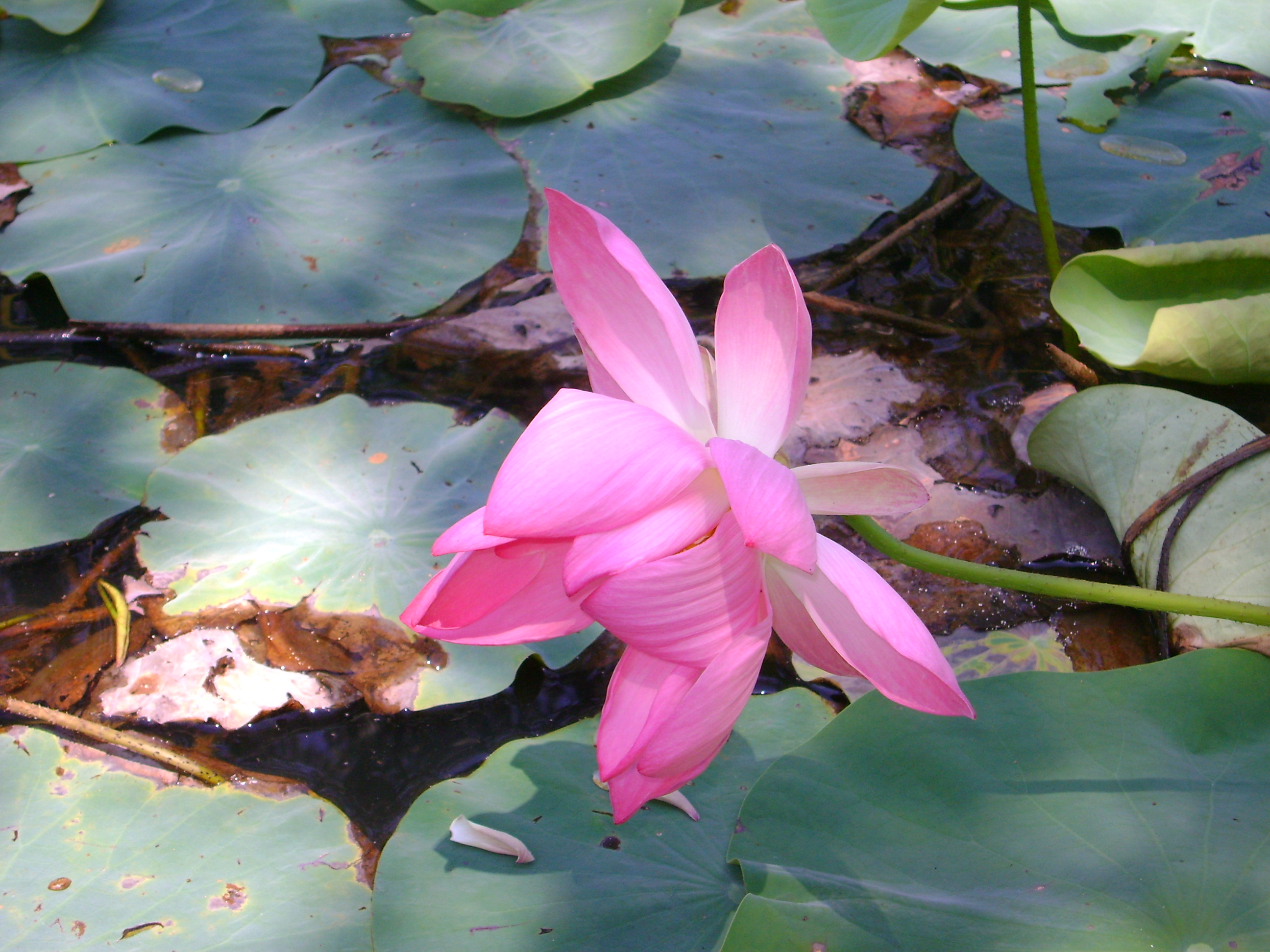 Lotus flower history - File Lotus Flower Rose Jpg
