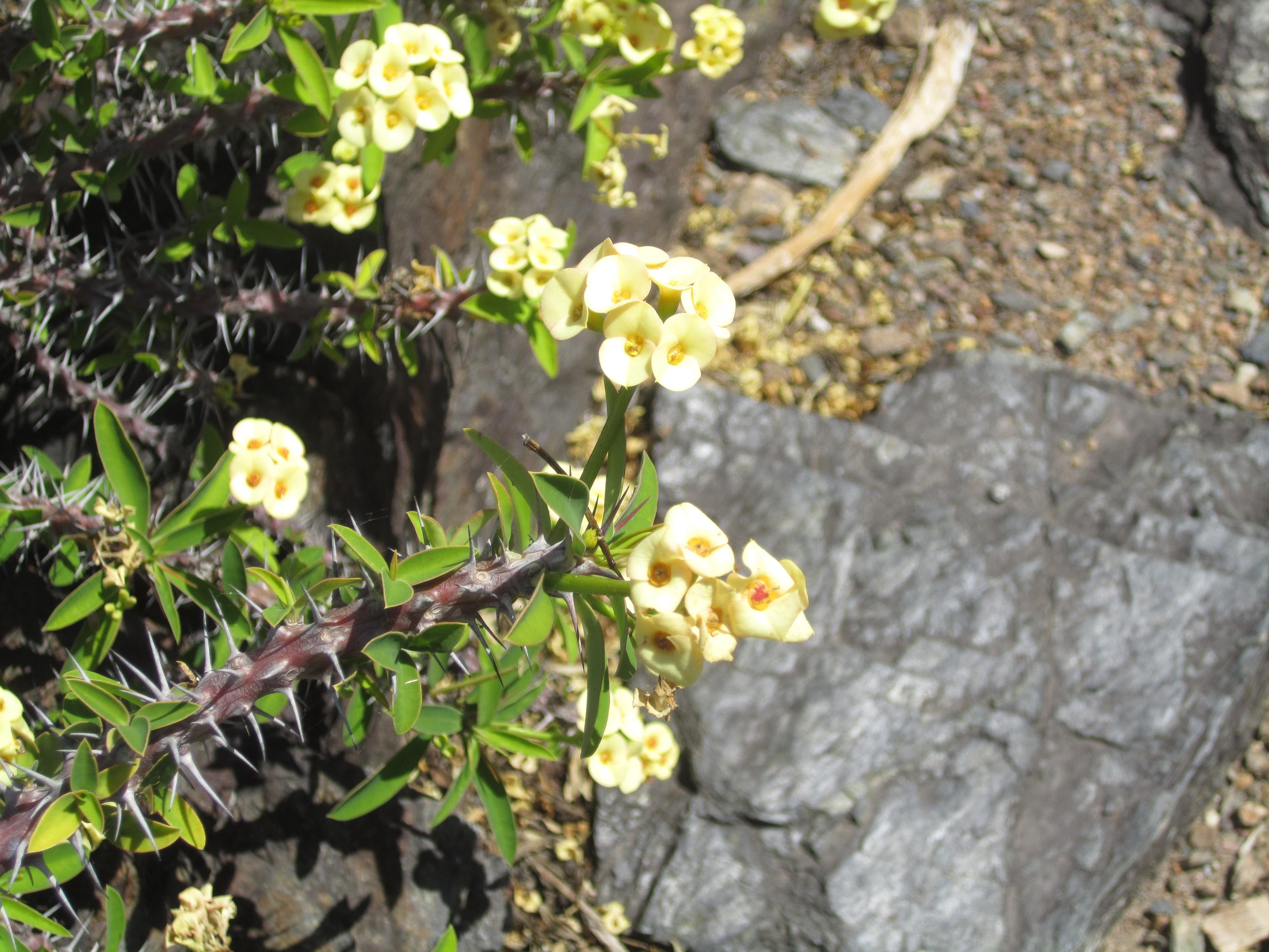 Filemcbg spiky yellow flowersg wikimedia commons filemcbg spiky yellow flowersg mightylinksfo