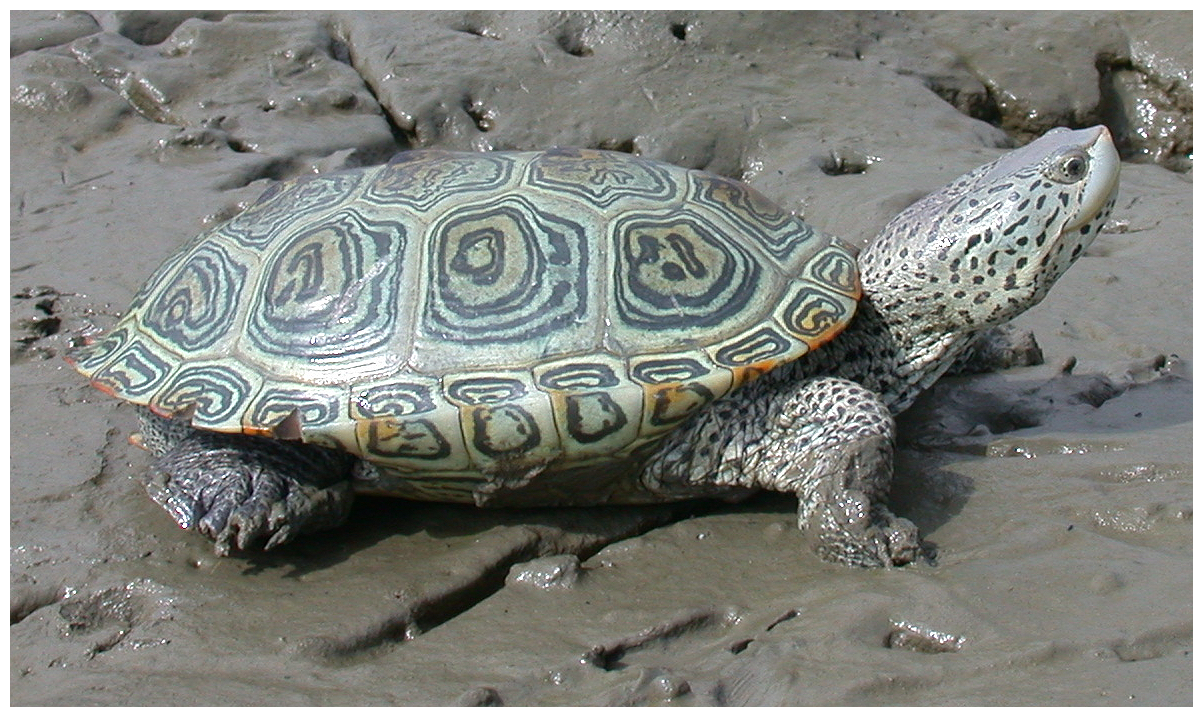 File:Malaclemys terrapin - journal.pone.0027373.g003.png.