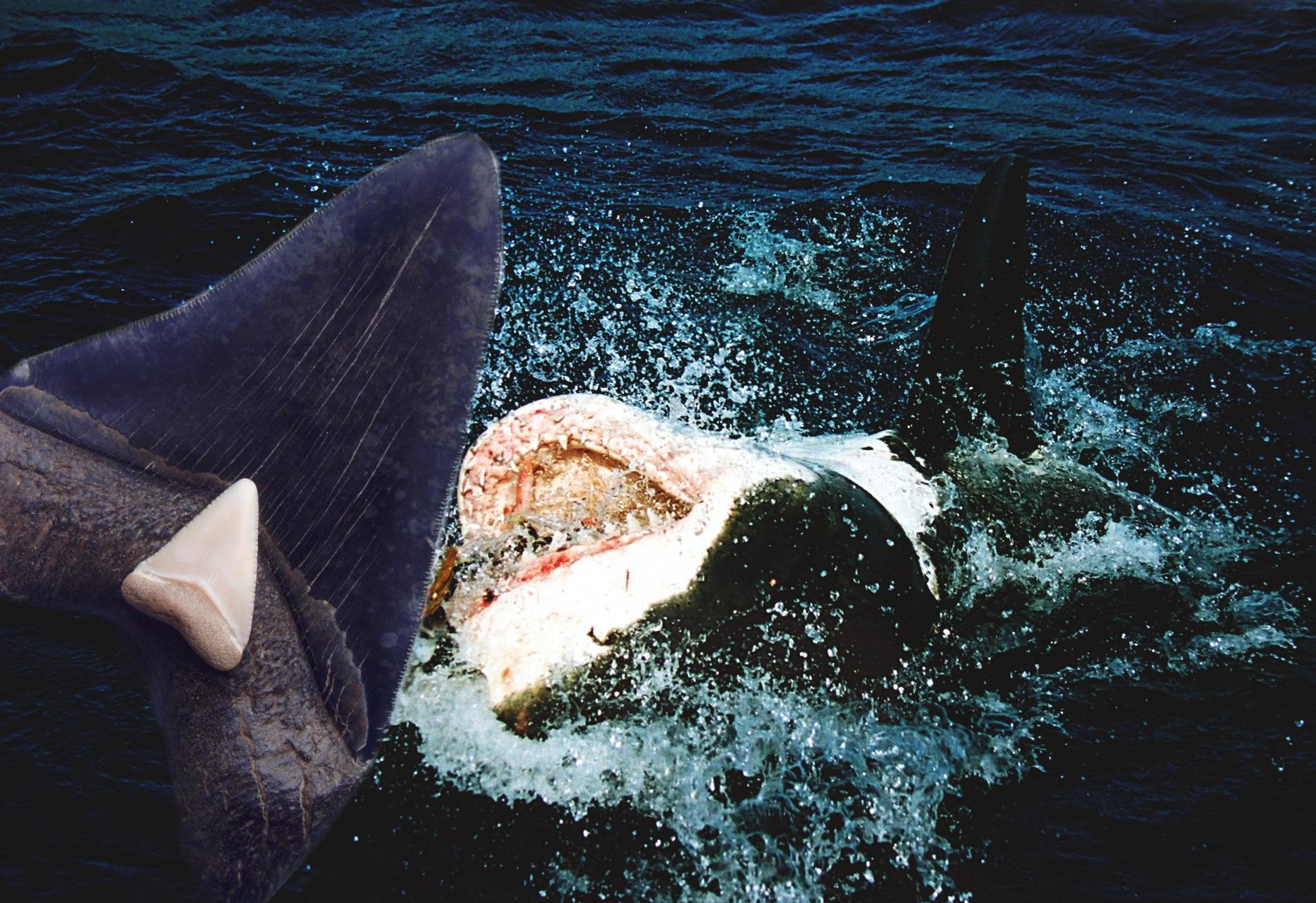 Megalodon Great White Shark