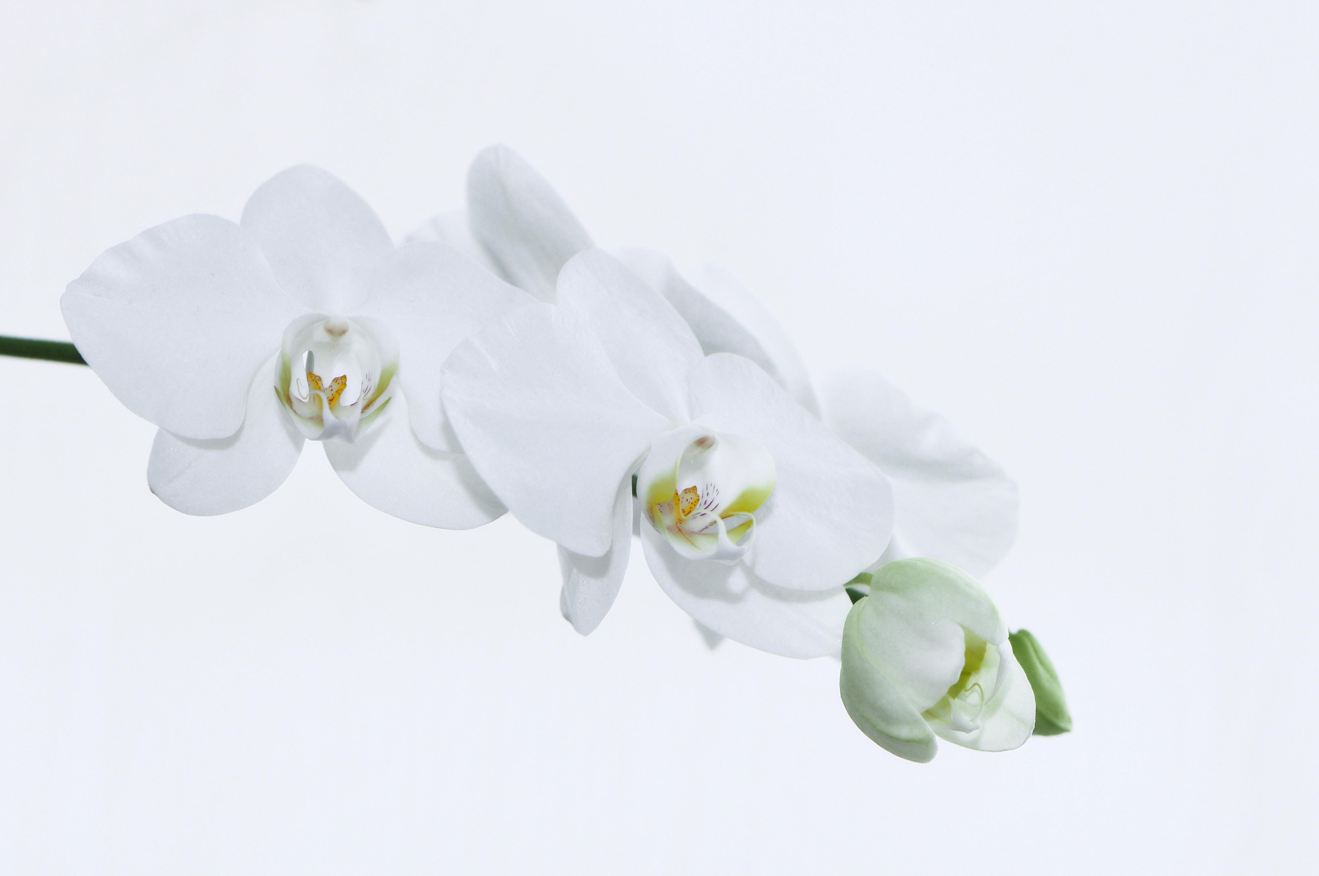 file nachtfalter orchidee phalaenopsis 12 jpg wikimedia. Black Bedroom Furniture Sets. Home Design Ideas
