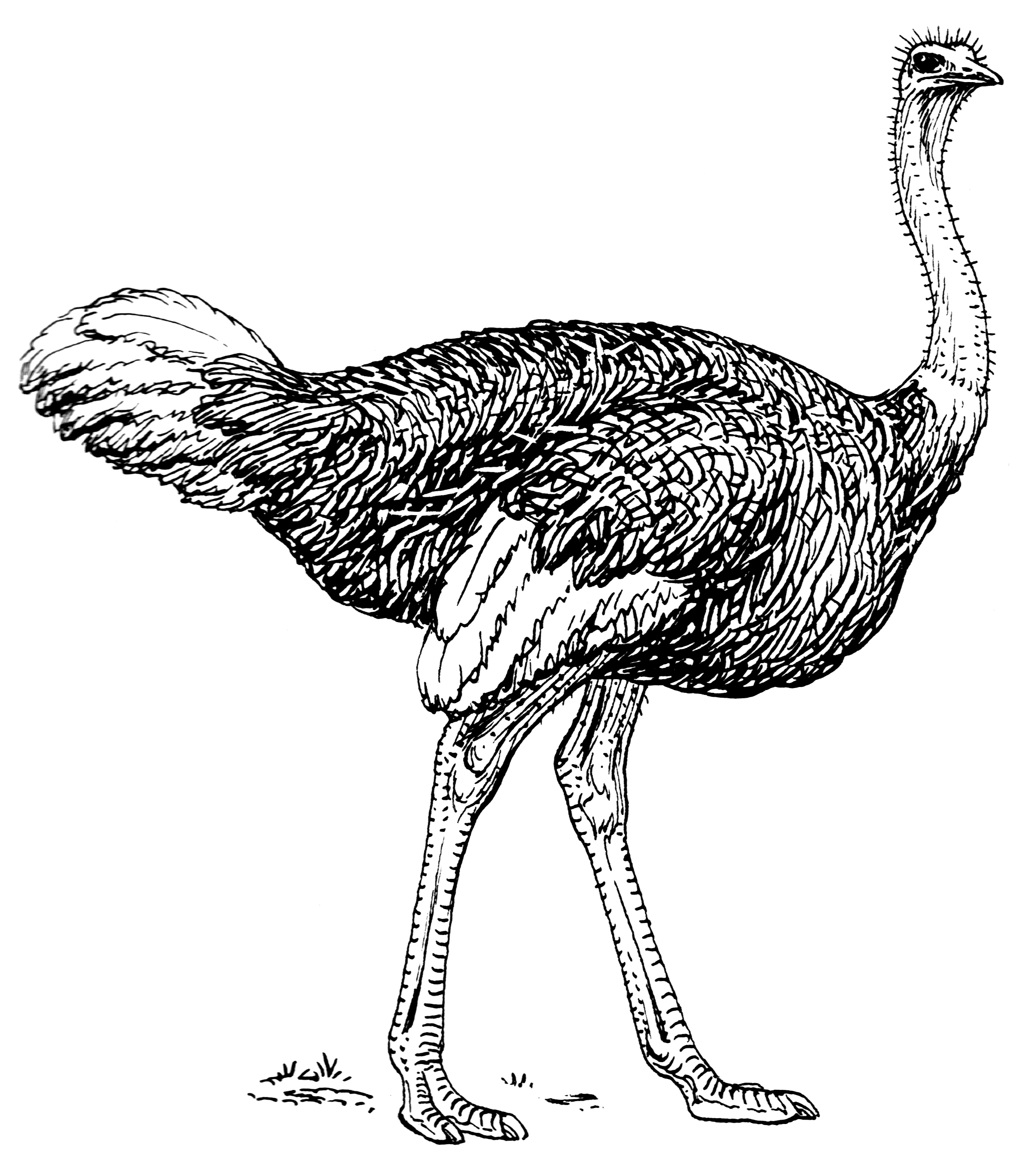 Line Drawing Wiki : File ostrich psf wikimedia commons