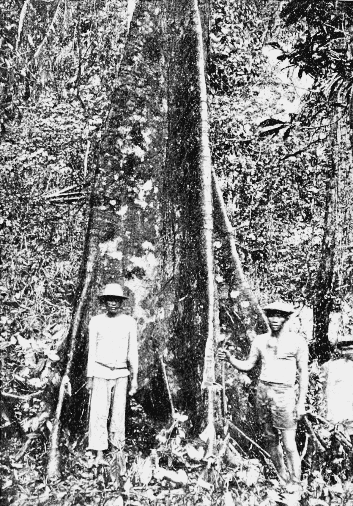 PSM V65 D480 Gutta percha tree in mindanao.png