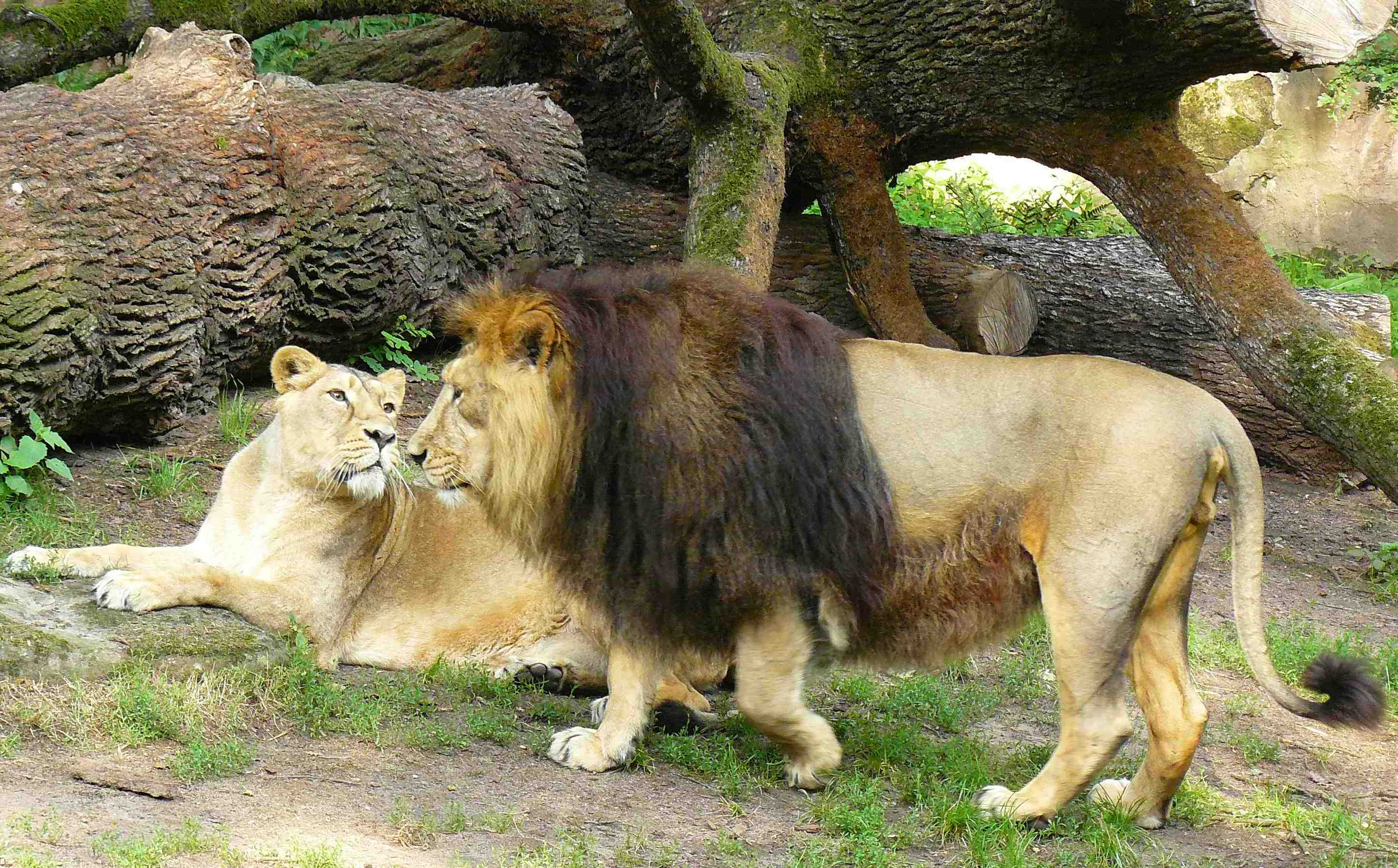 http://upload.wikimedia.org/wikipedia/commons/4/47/Panthera_leo_persica_Nuremberg_Zoo.JPG
