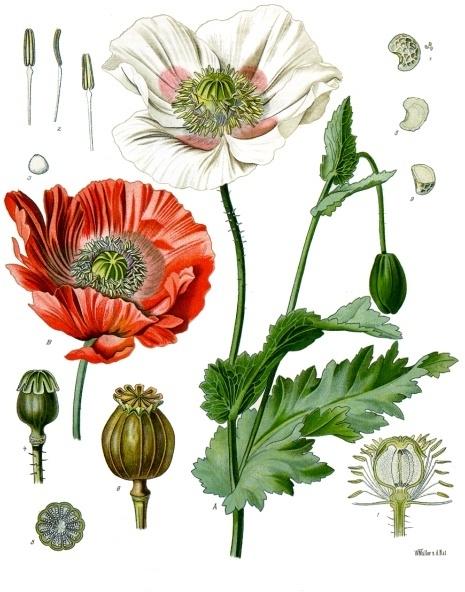 Papaver_somniferum_-_K%C3%B6hler%E2%80%93s_Medizinal-Pflanzen-102.jpg