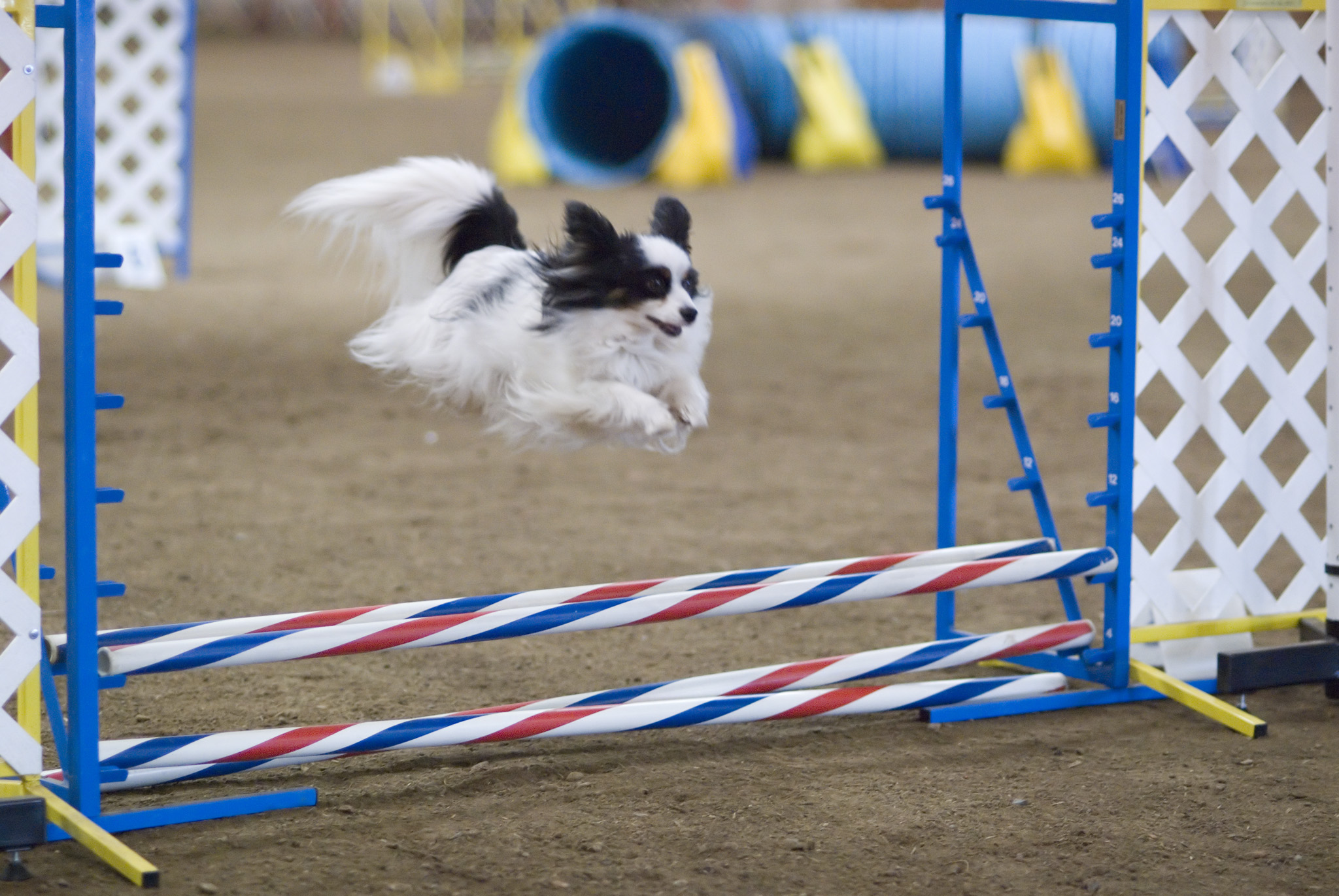 best canine agility dogs