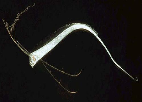 File:Regalecus glesne juvenile.png