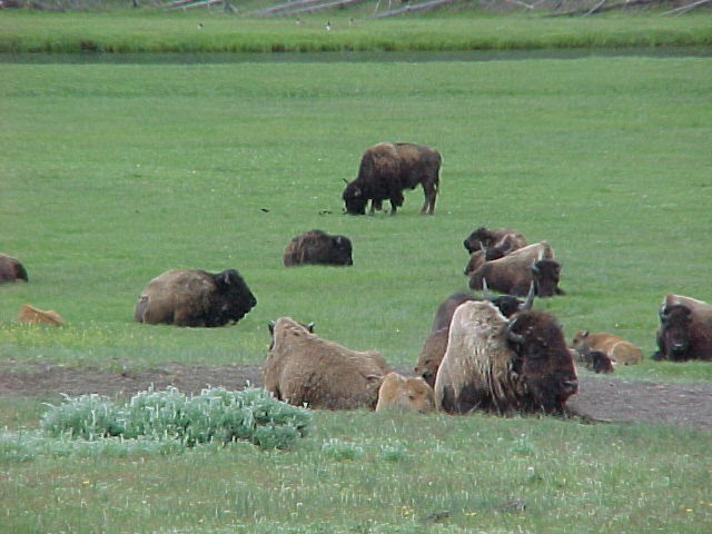 File:Resting Bison in Moult in Yellowstone.JPG