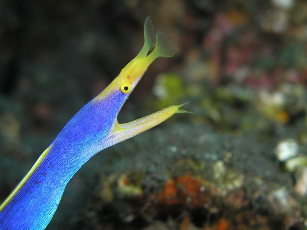 Ribbon moray eel - photo#14