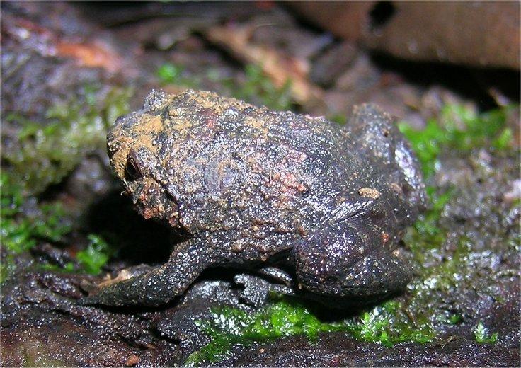 Rhombophryne coudreaui — Wikipédia