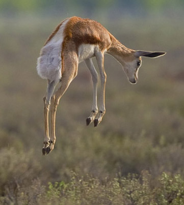A young springbok stotting in Etosha National Park, Namibia - Stotting