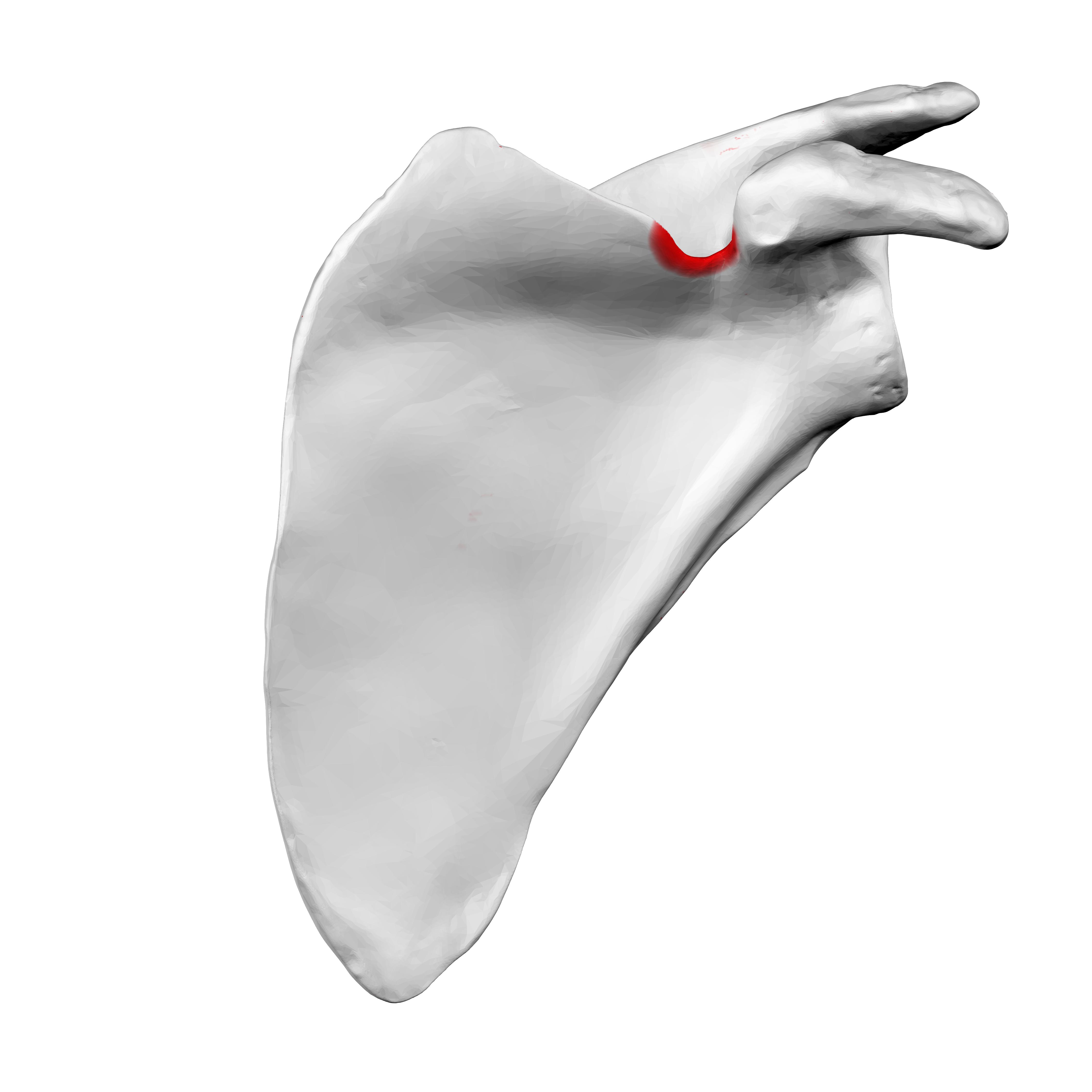 File:Suprascapular Notch Of Left Scapula03.png