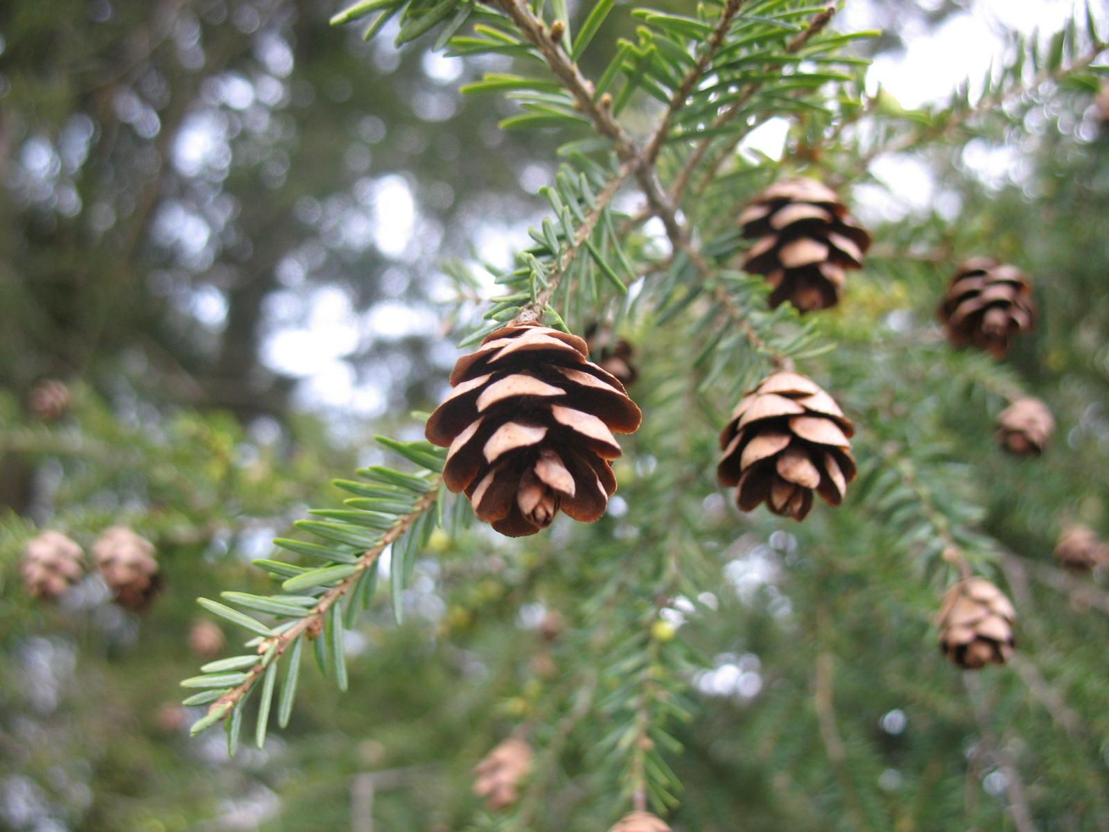 Eastern Hemlock Campus Trees