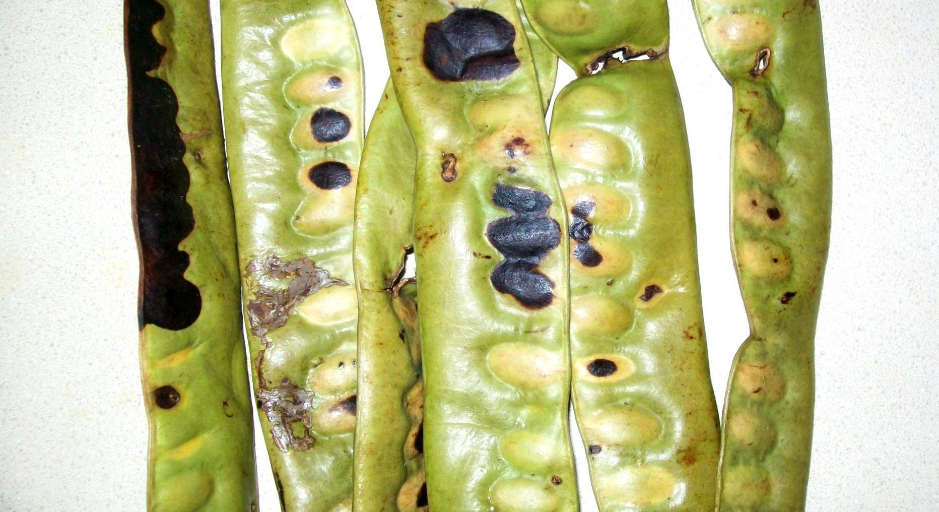 Unripe honey locust pods.jpg