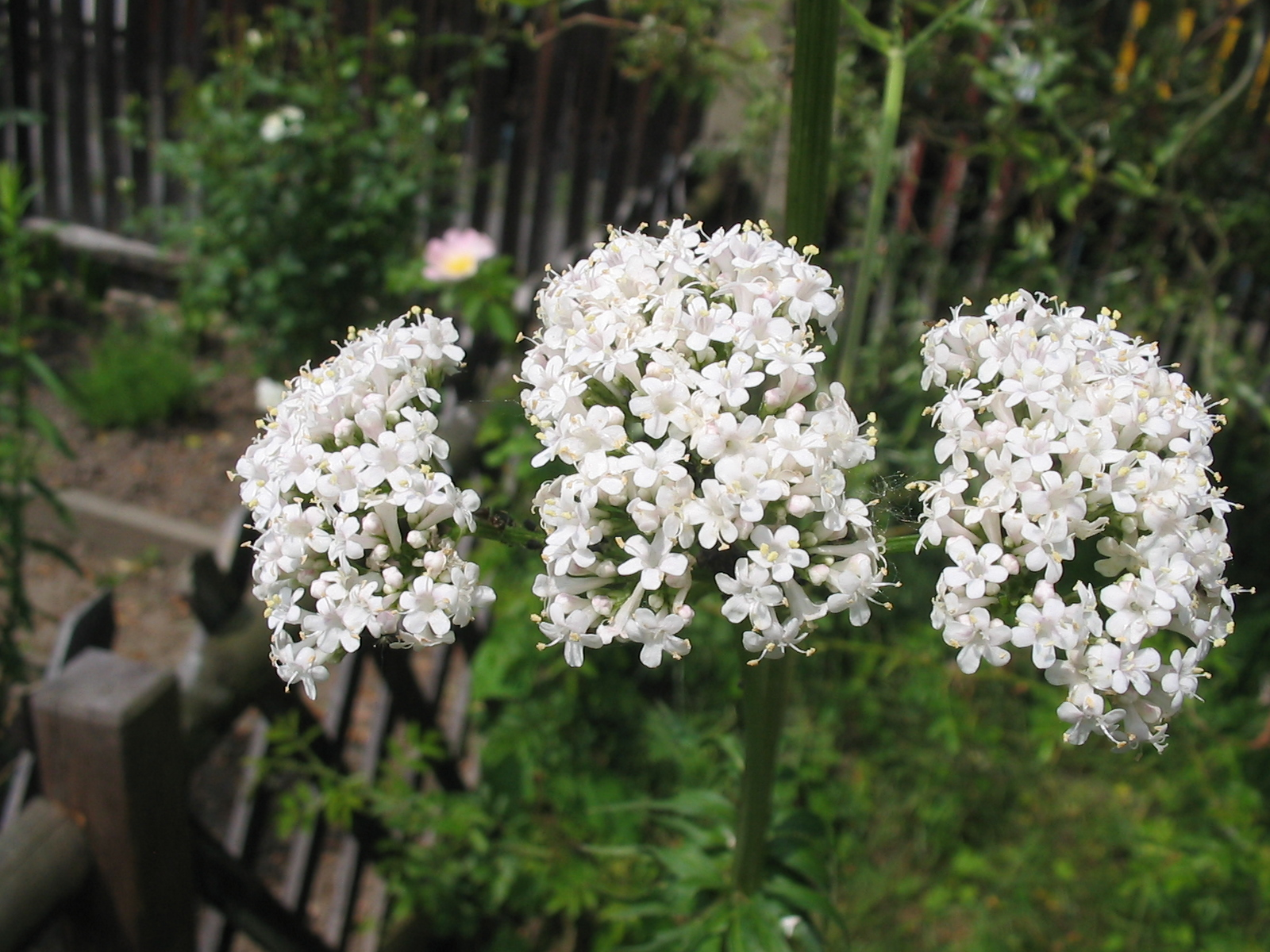 File:valeriana officinalis flower 1.jpg wikipedia