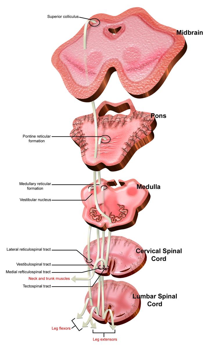 Fileventromedial Nerve Pathways Descendingg Wikimedia Commons