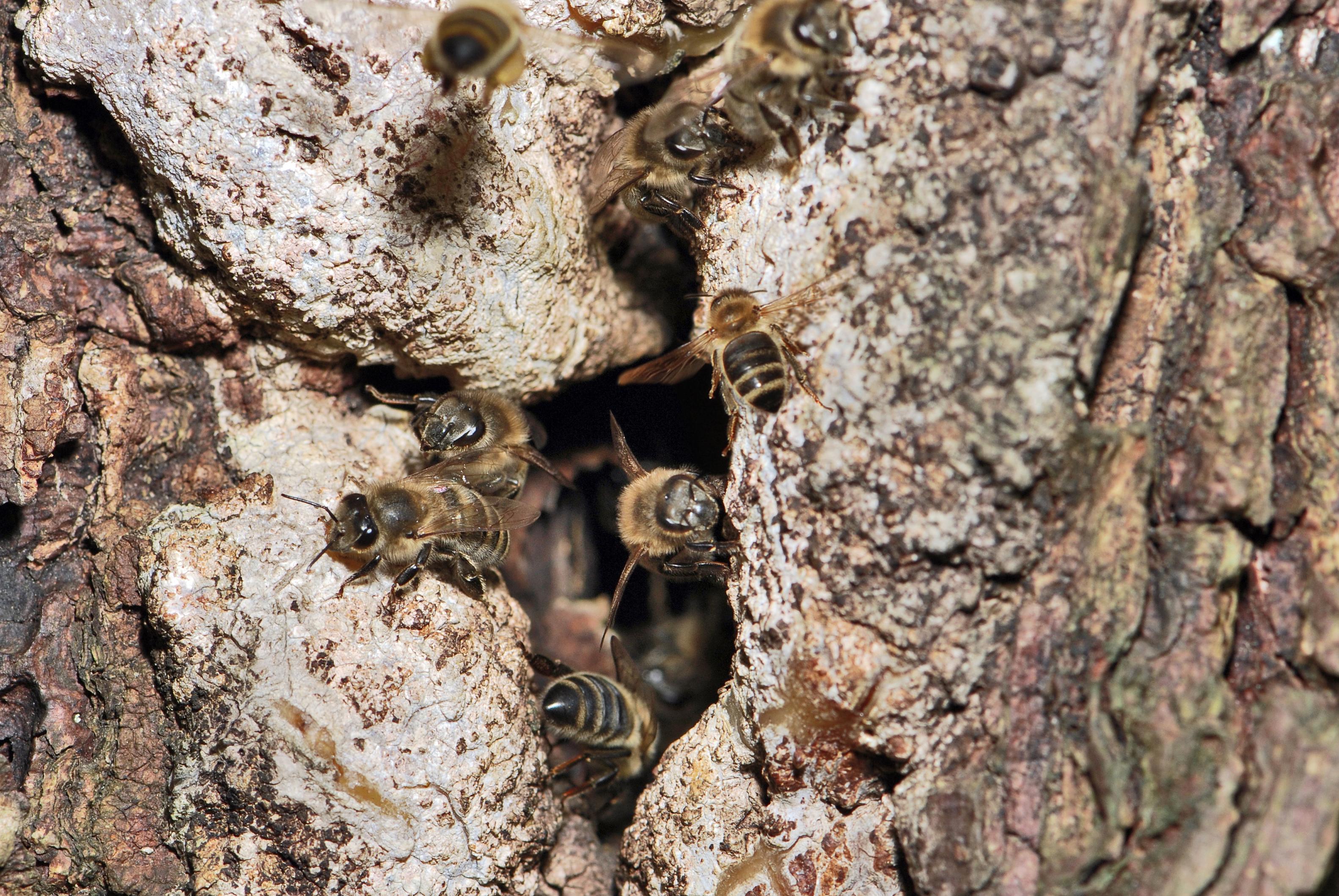 Luonnossa pesiviä Pohjolan mehiläisiä. Kuvan ottanut Ernie on antanut sen vapaaseen käyttöön.