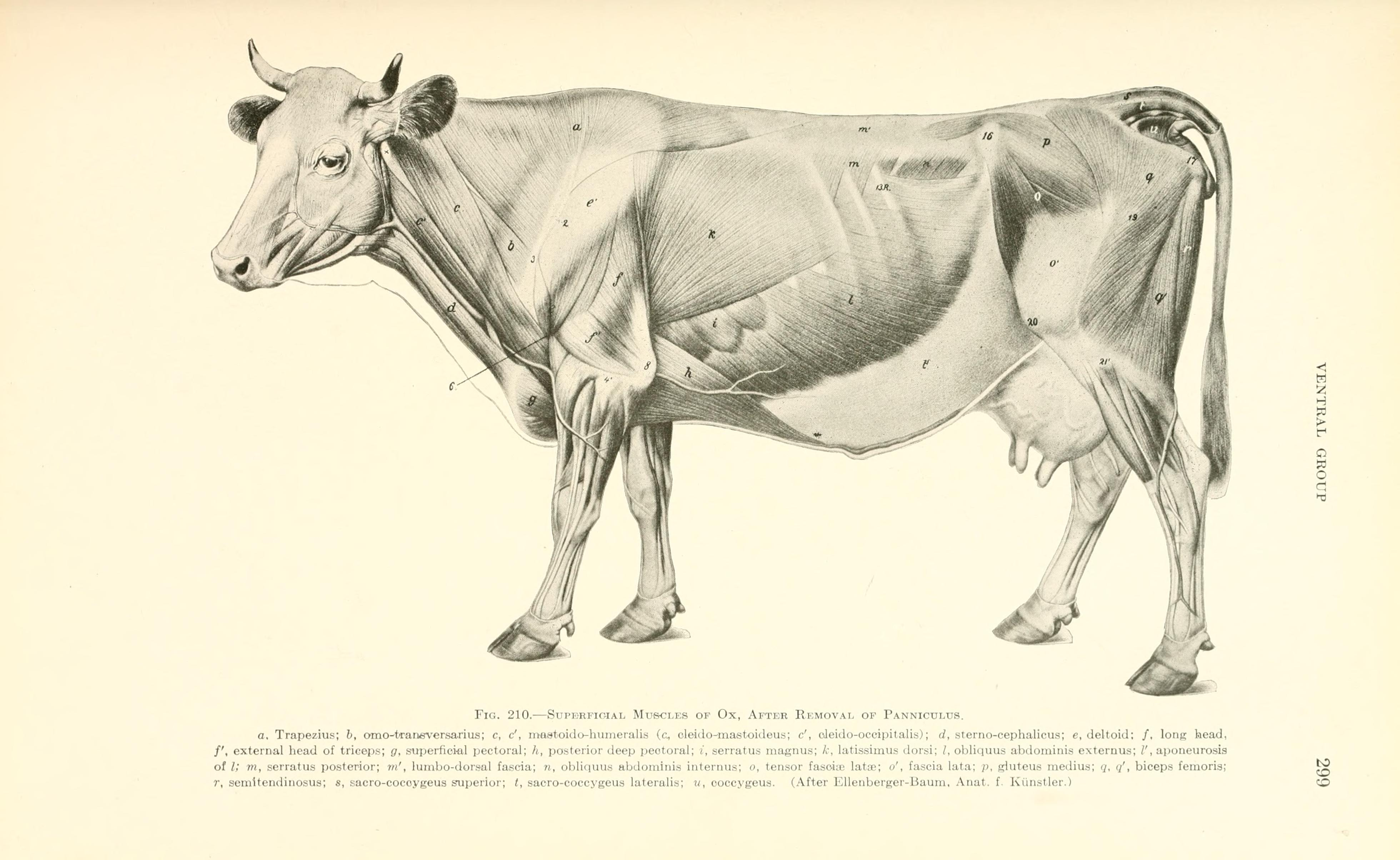 Filea Text Book Of Veterinary Anatomy Page 299 Bhl18587423g