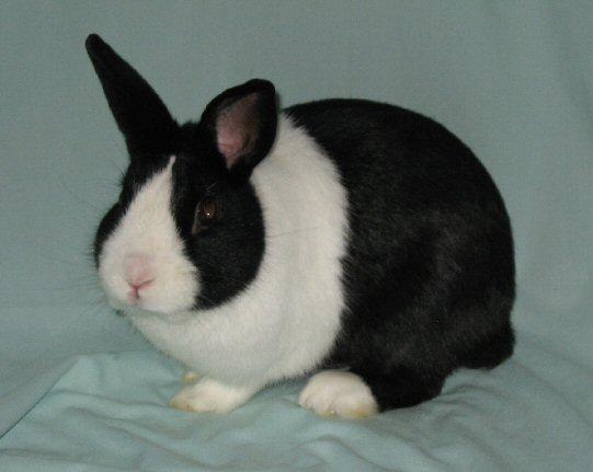 Dutch rabbit  Wikipedia