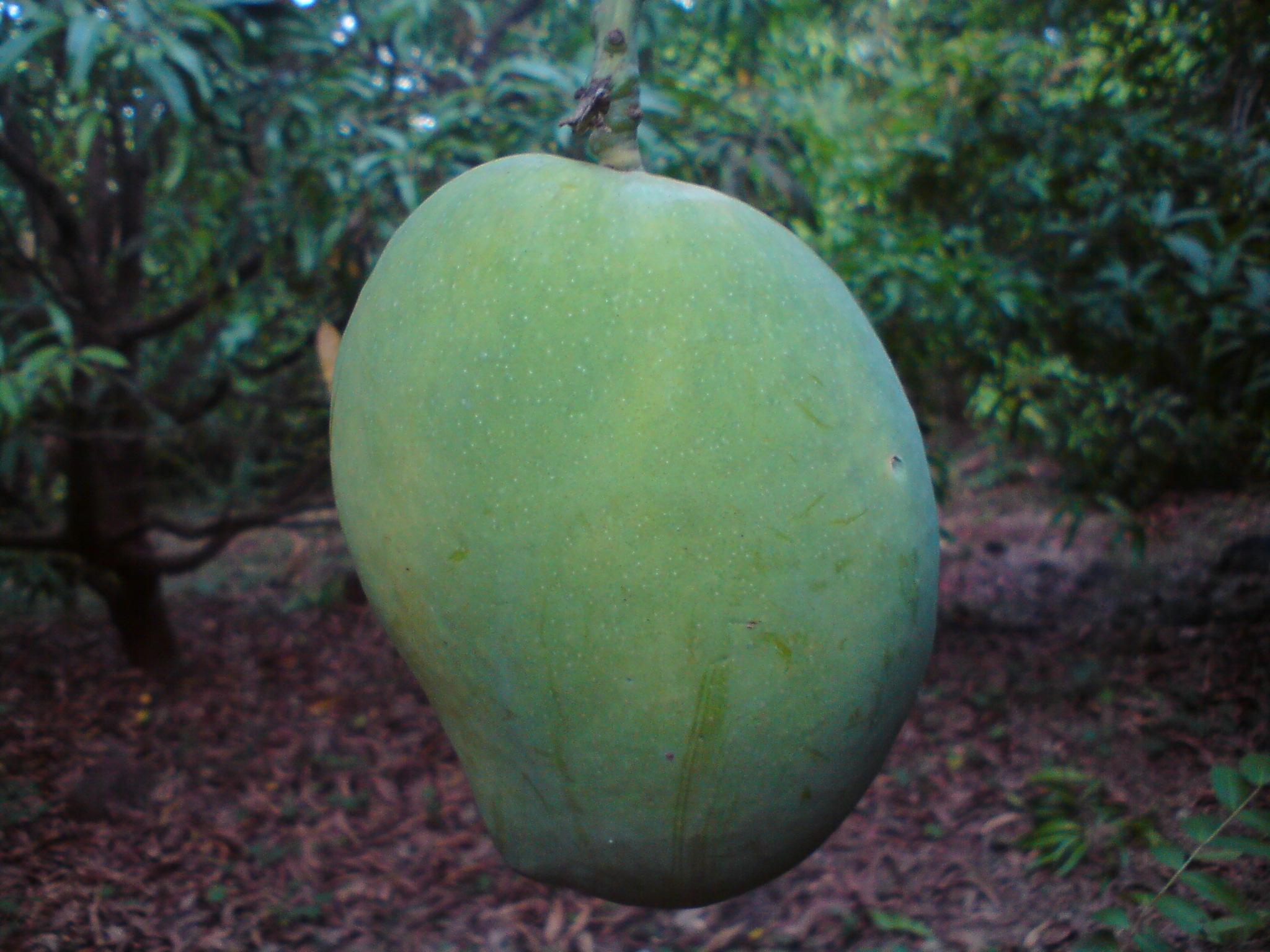 An Unripe Mango Of Ratnagiri (India).JPG