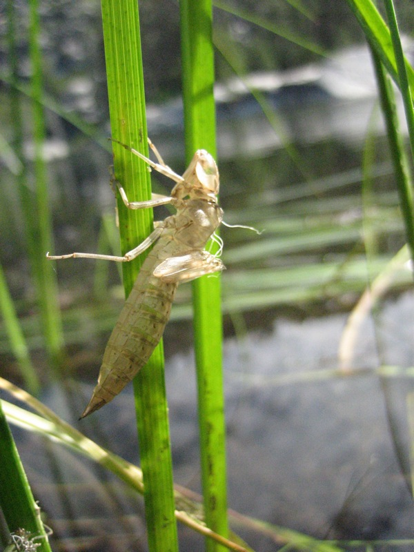 File:Anauxite - Dragonfly nymph molt (by) jpg - Wikimedia Commons