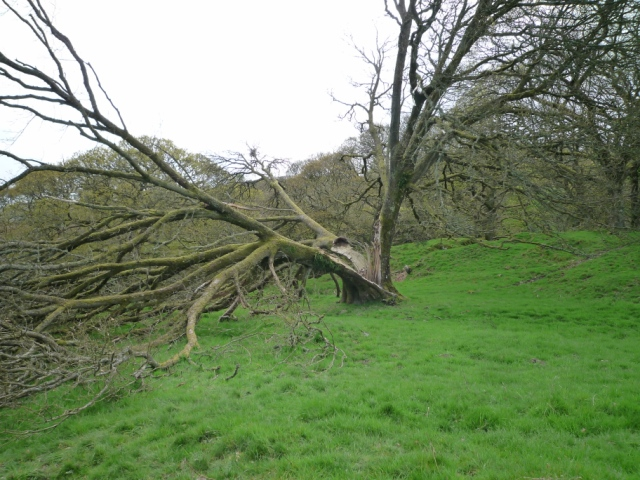 Ash trees apparently attract lighting, as demonstrated by this cleft tree.