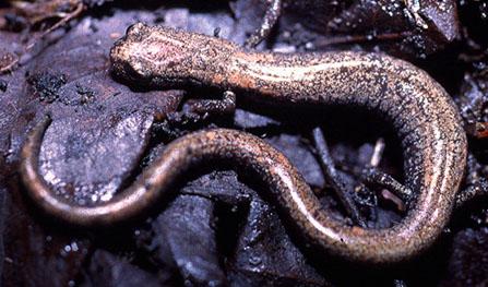 Batrachoseps gabrieli image