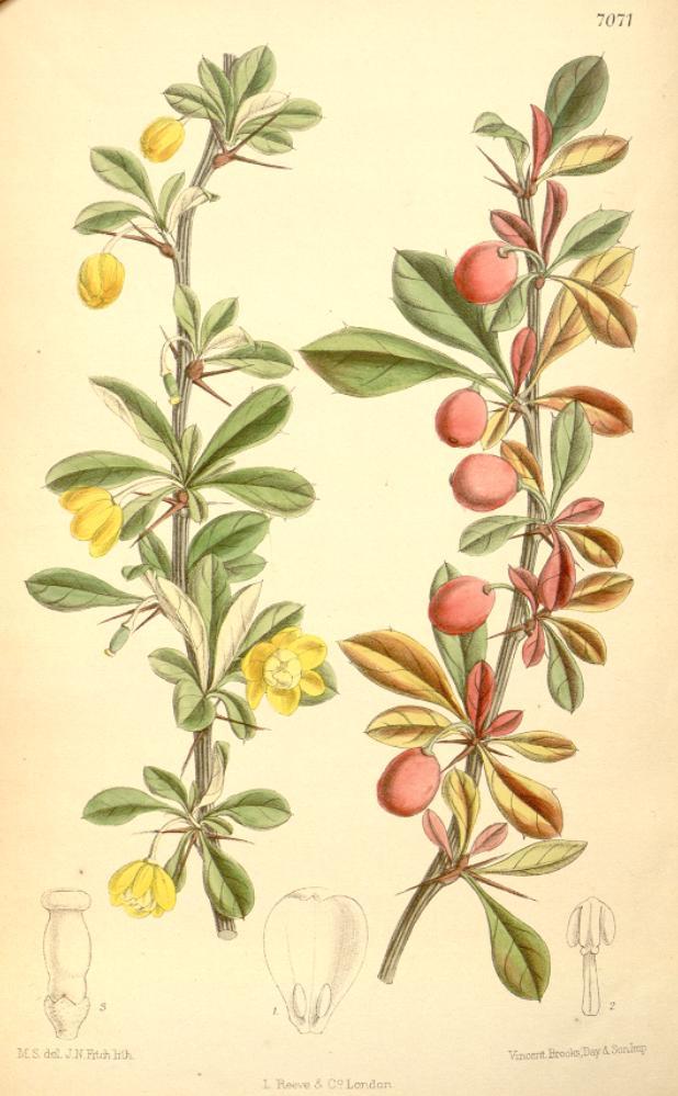 File:Berberis angulosa...