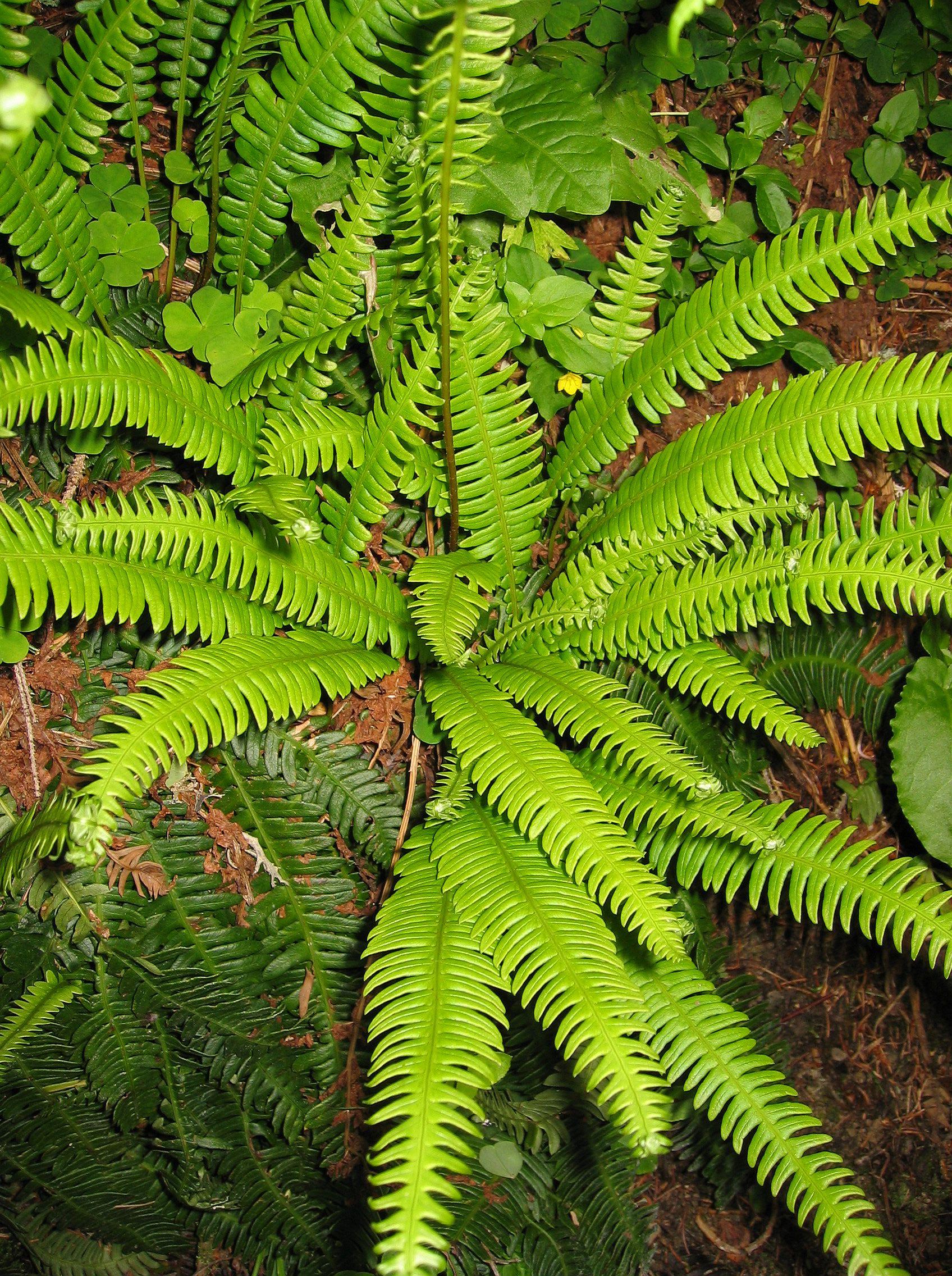 Декоративни живи растения в саксии  Сортови Семена и