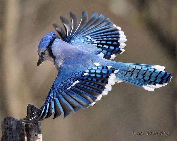 Blue Jay (Jim Ridley 2010.)