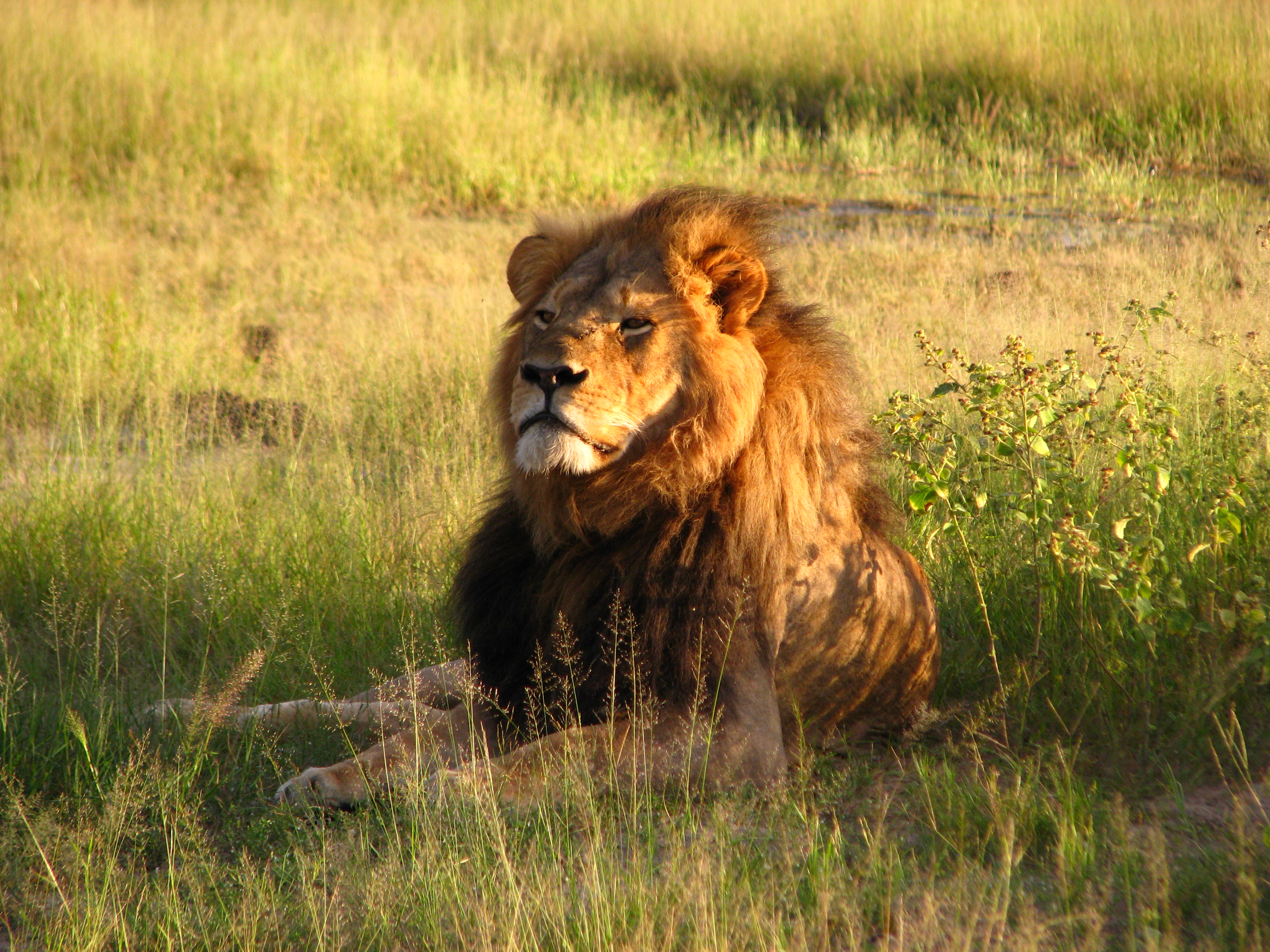 Cecil the lion.jpg