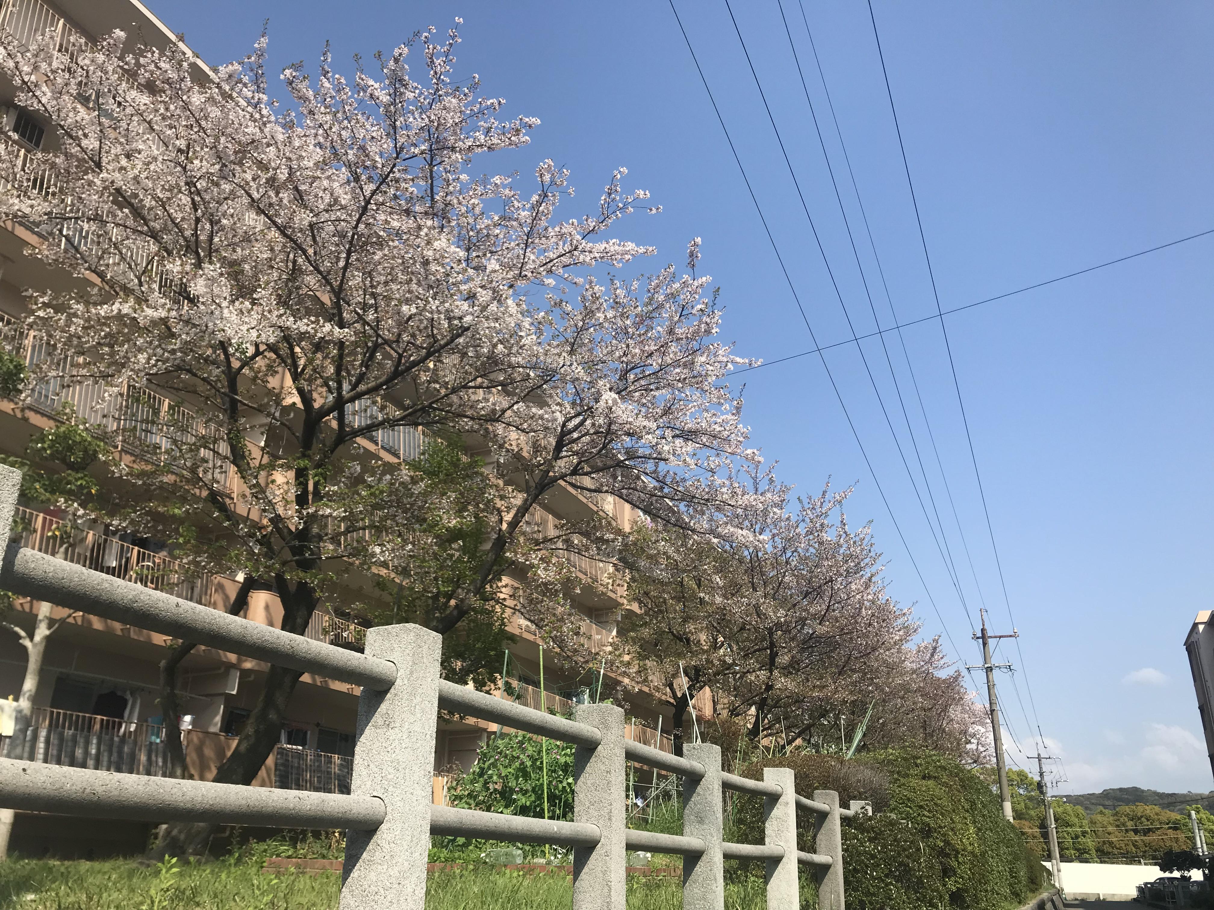 new arrival b36b0 82ef5 File Cherry blossoms 20180403.jpg