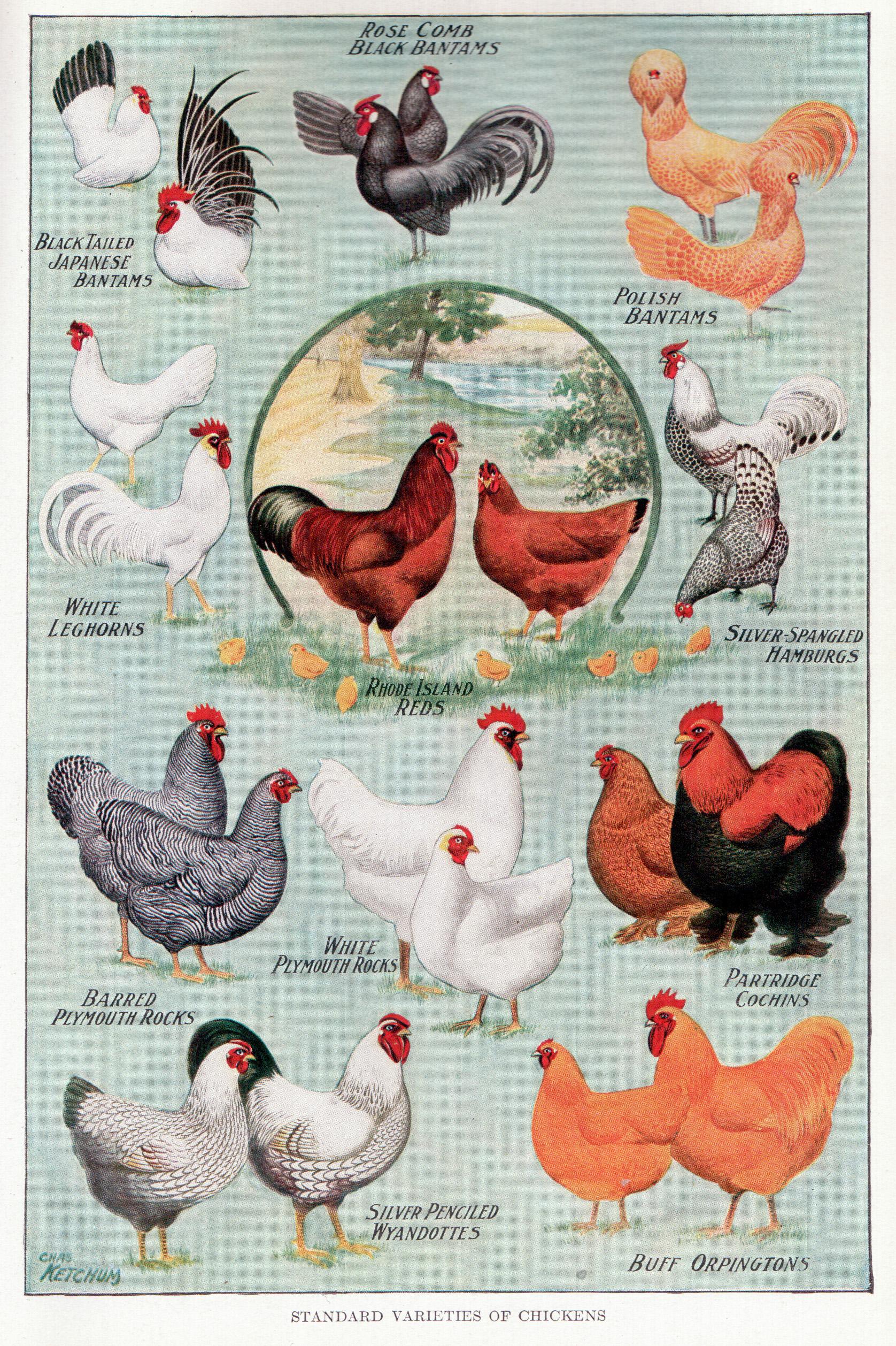 Filechickens 2g wikimedia commons filechickens 2g nvjuhfo Gallery