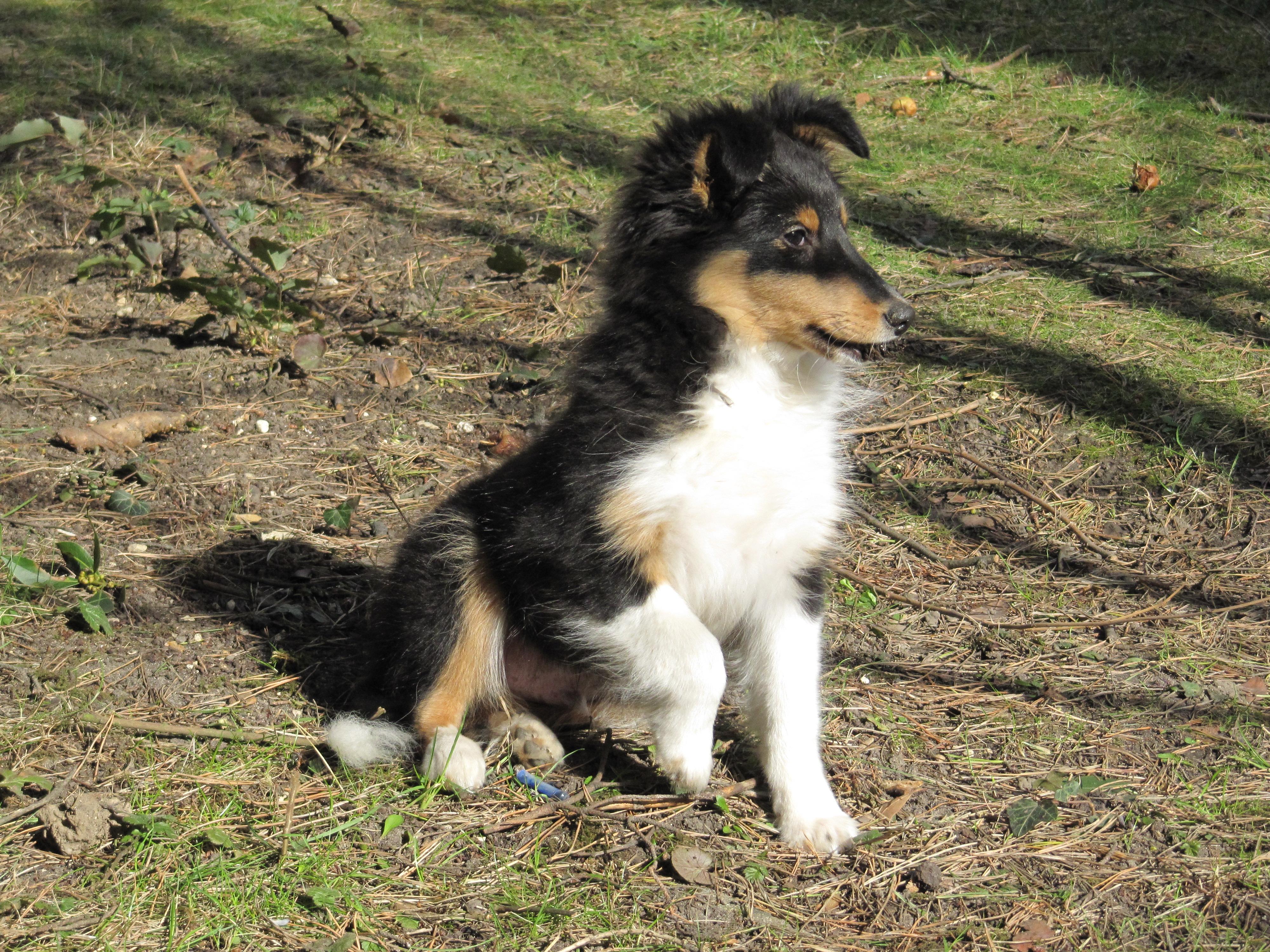 Shetland Sheepdog | Wiki | Everipedia
