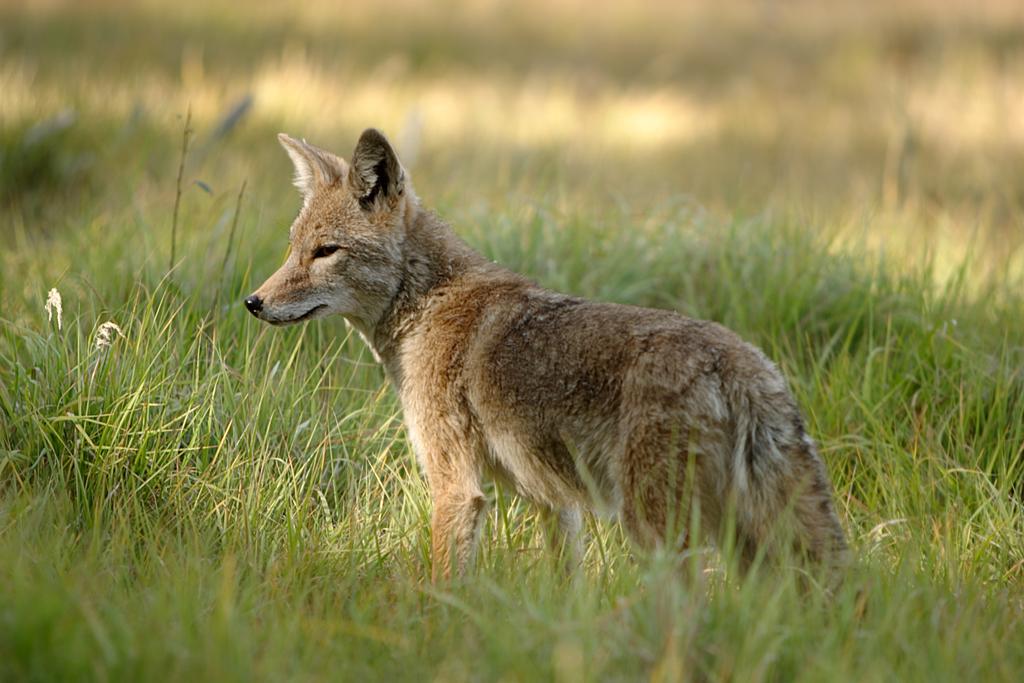 Can A Coyote Impregnate A Dog