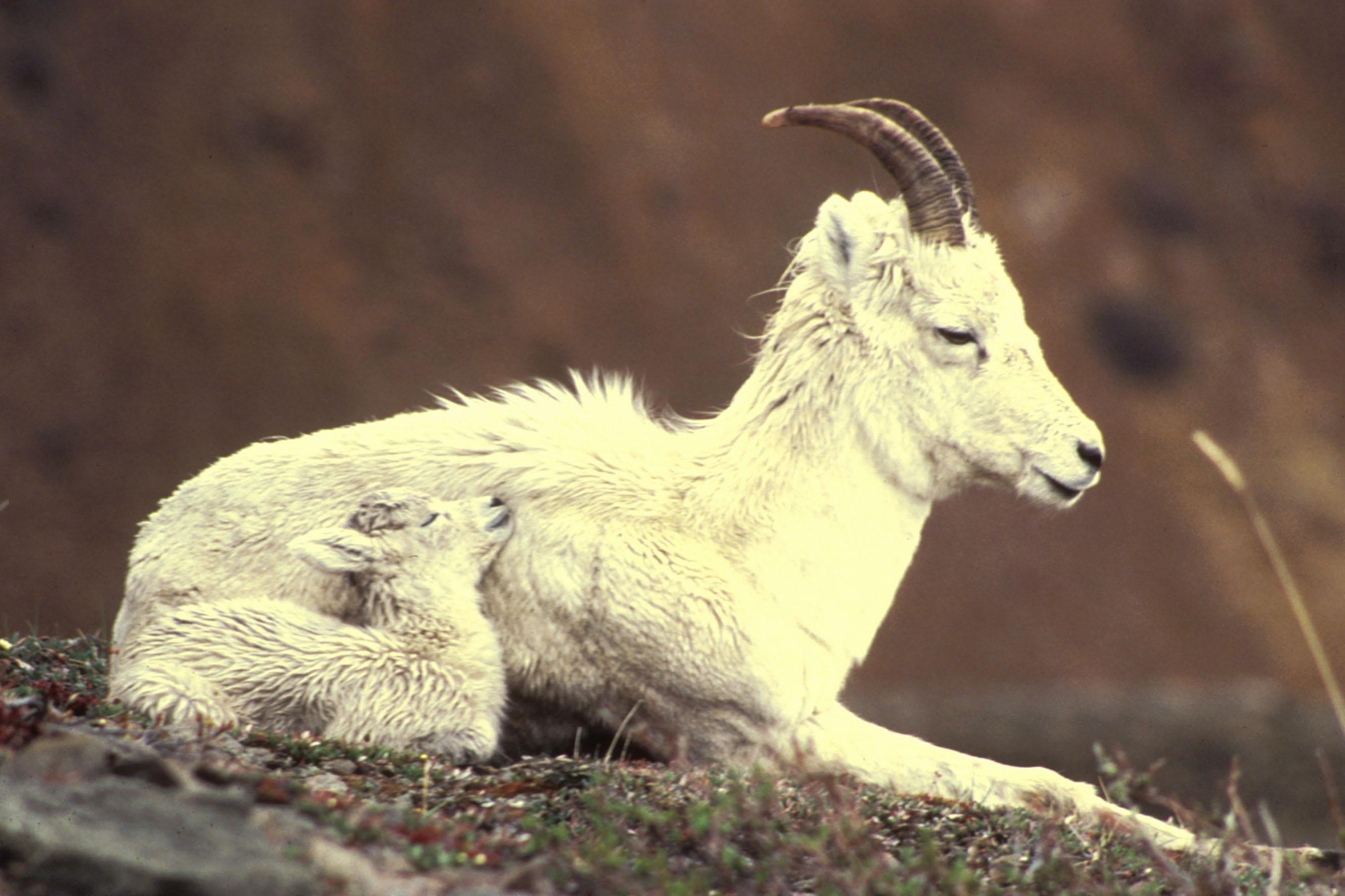 Description Dall sheep ewe and lamb lying down.jpg