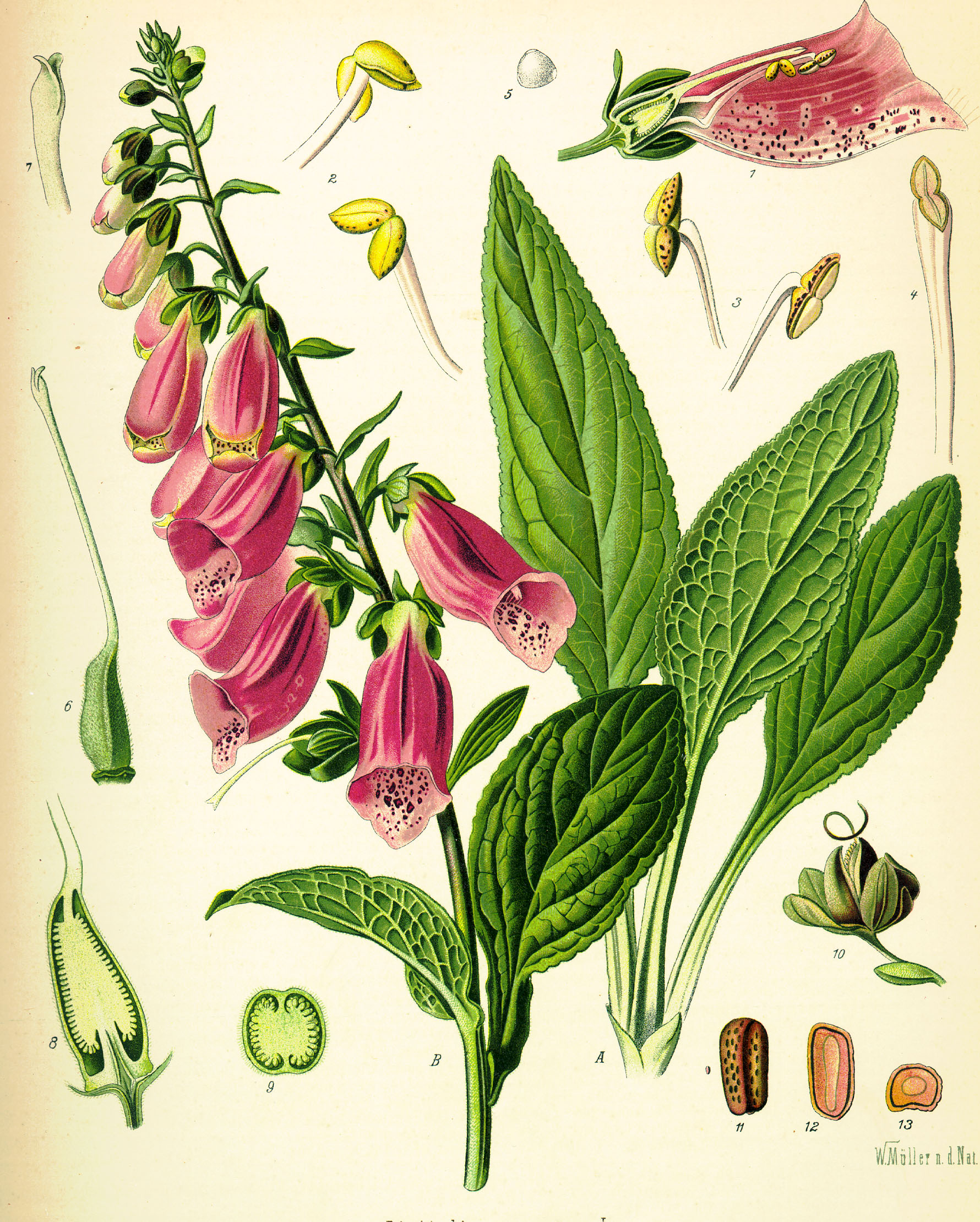 File Digitalis purpurea Koehler drawing Wikimedia mons