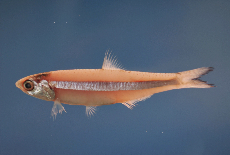 Dusky anchovy ( Anchoa lyolepis ).jpg © SEFSC Pascagoula Laboratory; Collection of Brandi Noble, NOAA/NMFS/SEFSC