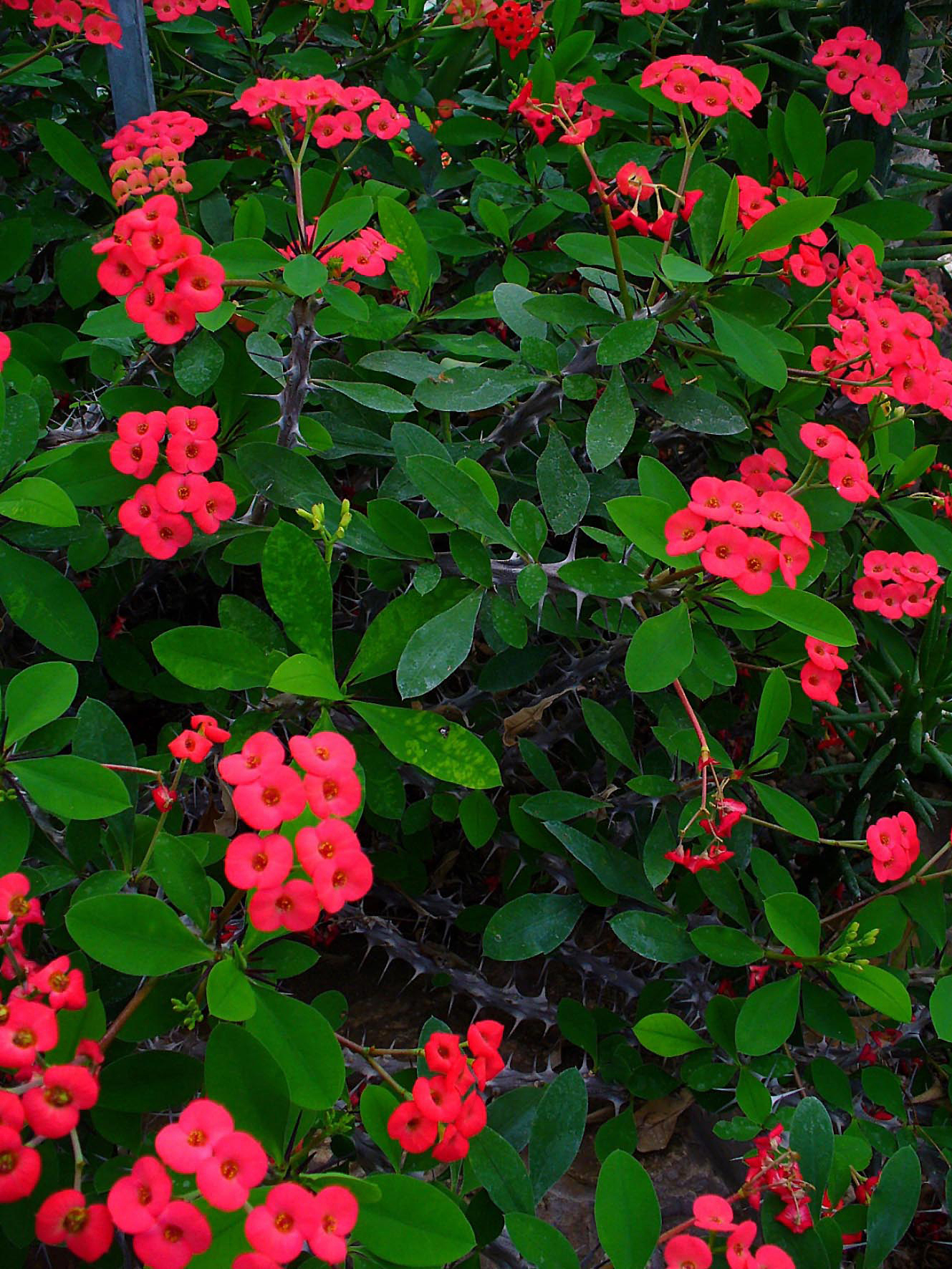 Madagascar euphorbia milii and plants on pinterest for Crown of thorns plant