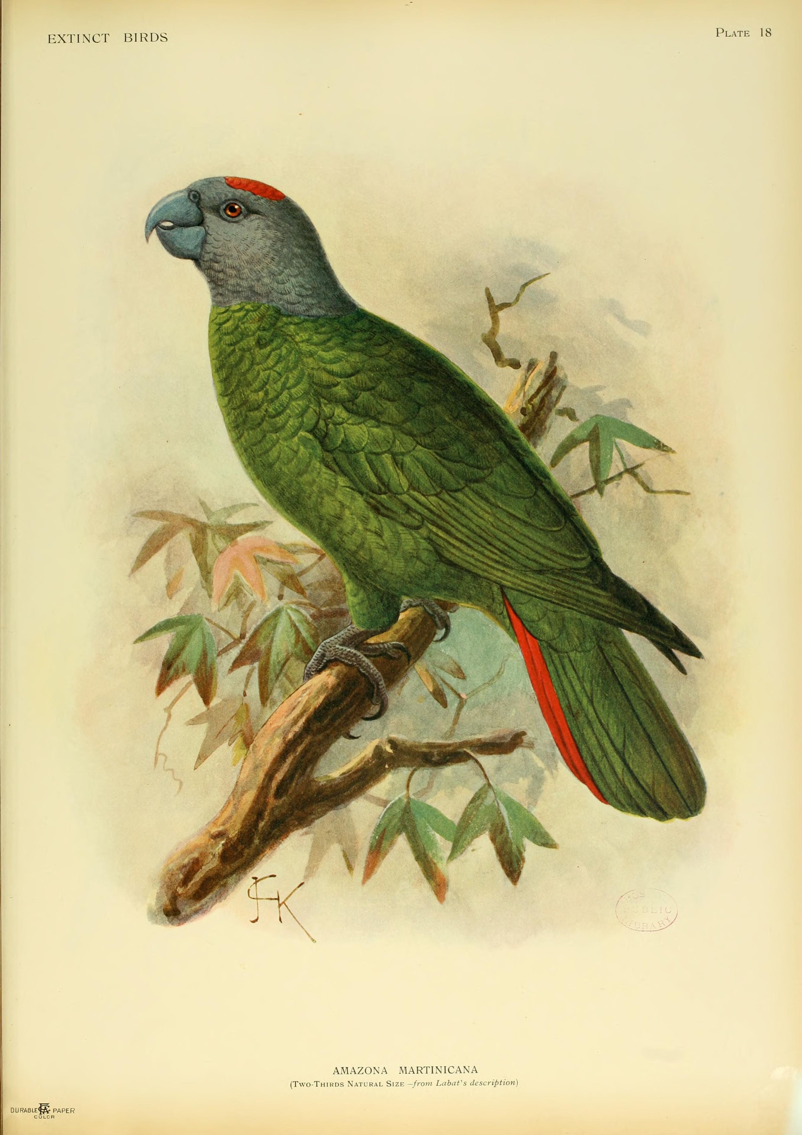 Вымершие и уничтоженные виды попугаев и других птиц Extinctbirds1907_P18_Amazona_martinicana0317