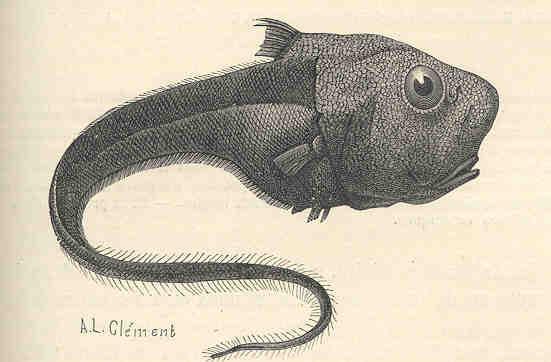 File:FMIB 34594 Macrurus globiceps, Leon Vaillant, Poisson Vivant de 1400 a 5000 metres de profondeur.jpeg