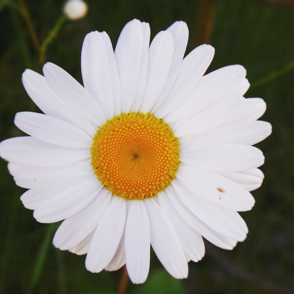 File Fleur Marguerite Jpg Wikimedia Commons