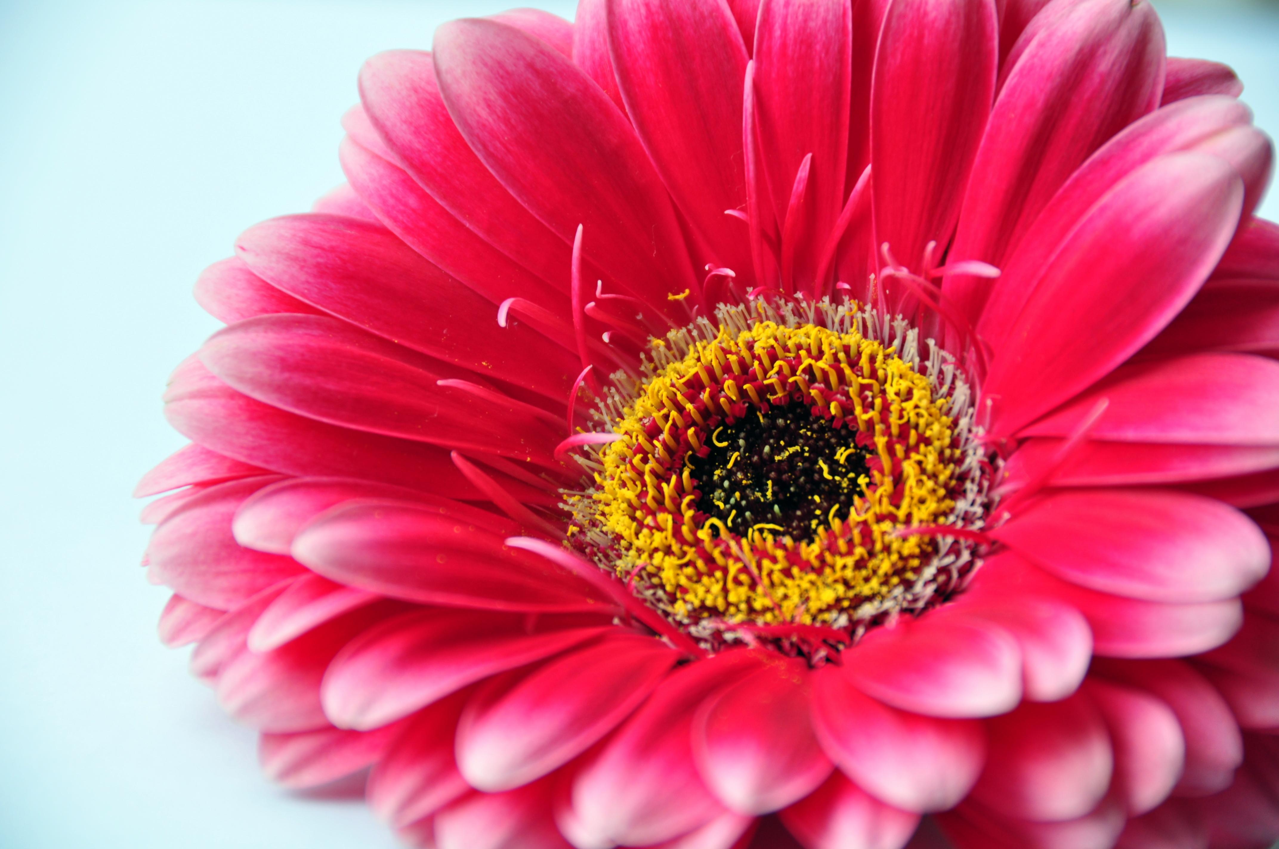Flower In The Garden File Gerbera 3668785654 Jpg Wikimedia Commons