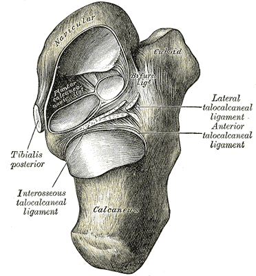 articulatio talonavicular