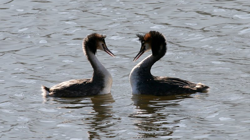 Tập tin:Great Crested Grebe (Podiceps cristatus) (1).jpg