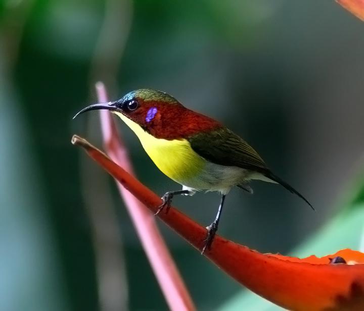Handsome sunbird.jpg
